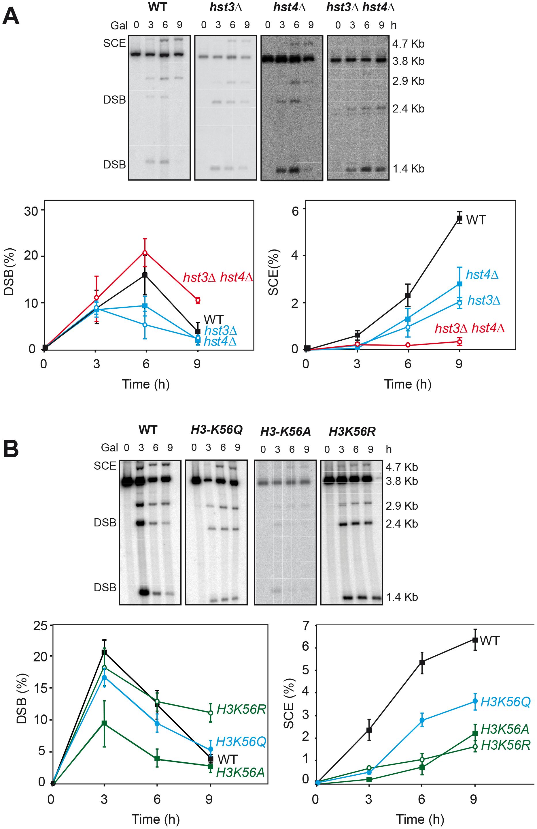 Effect of H3K56 acetylation/deacetylation on molecular SCR.
