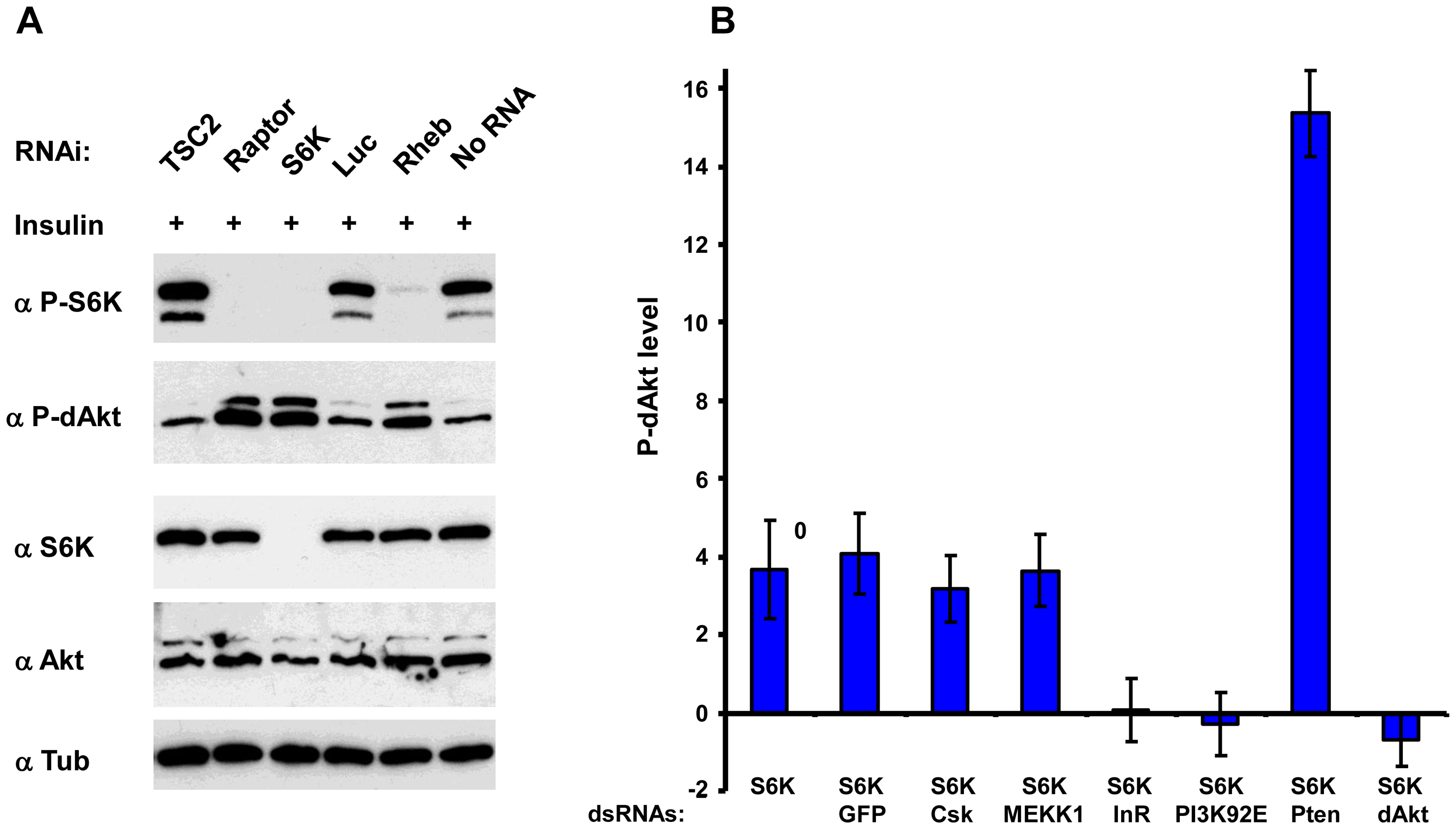 Inhibition of S6K results in derepression of Akt by inhibition of InR.