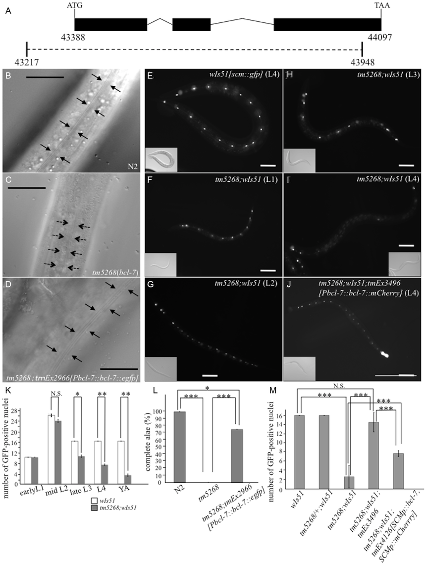 Knockout of <i>bcl-7</i> inhibits normal seam cell development in <i>Caenorhabditis elegans.</i>