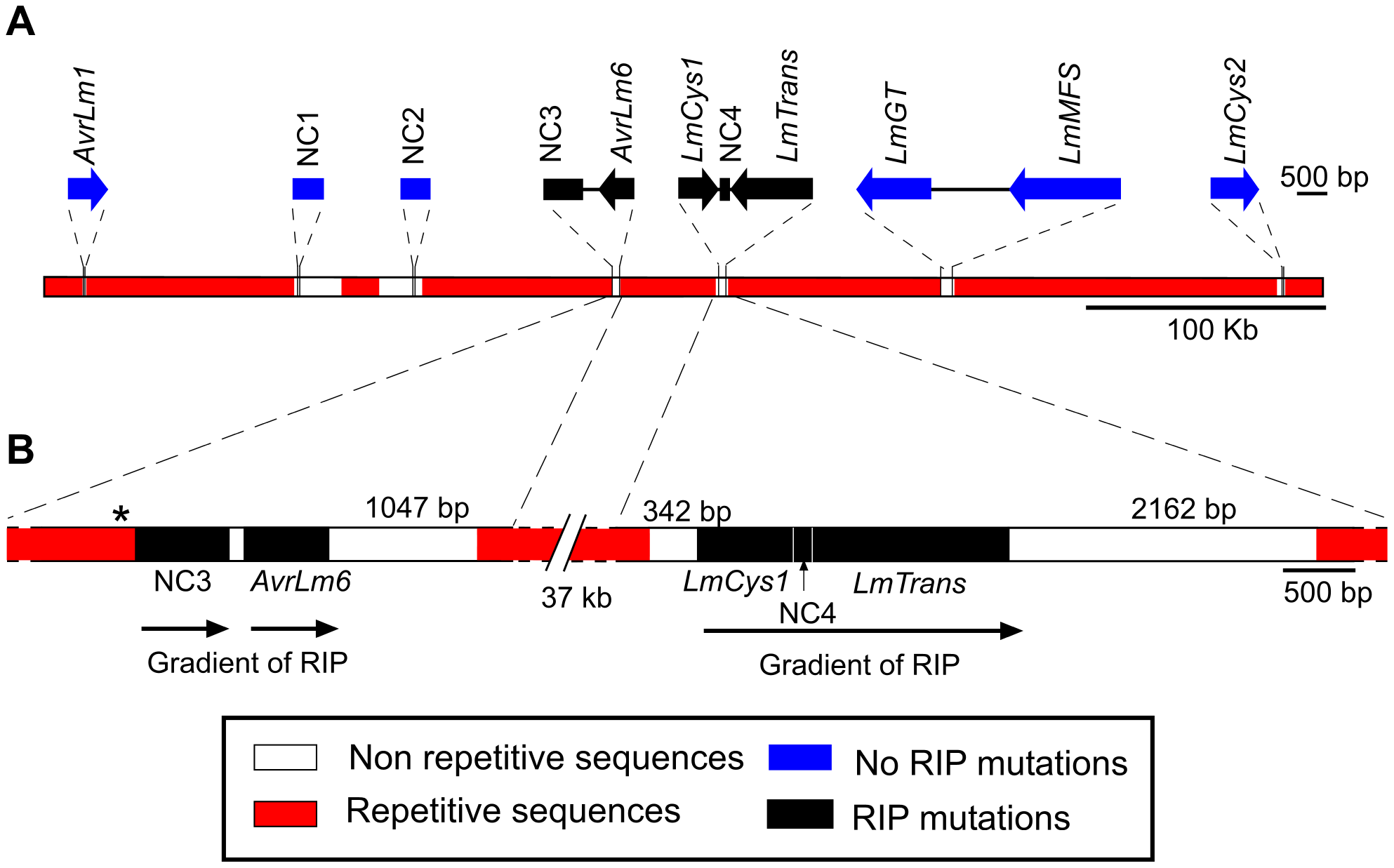 Location of the genes and non-coding, non-repetitive regions analysed from a 520 kb region of the <i>Leptosphaeria maculans</i> genome located on a 2.6 Mb chromosome in isolate v23.1.3.