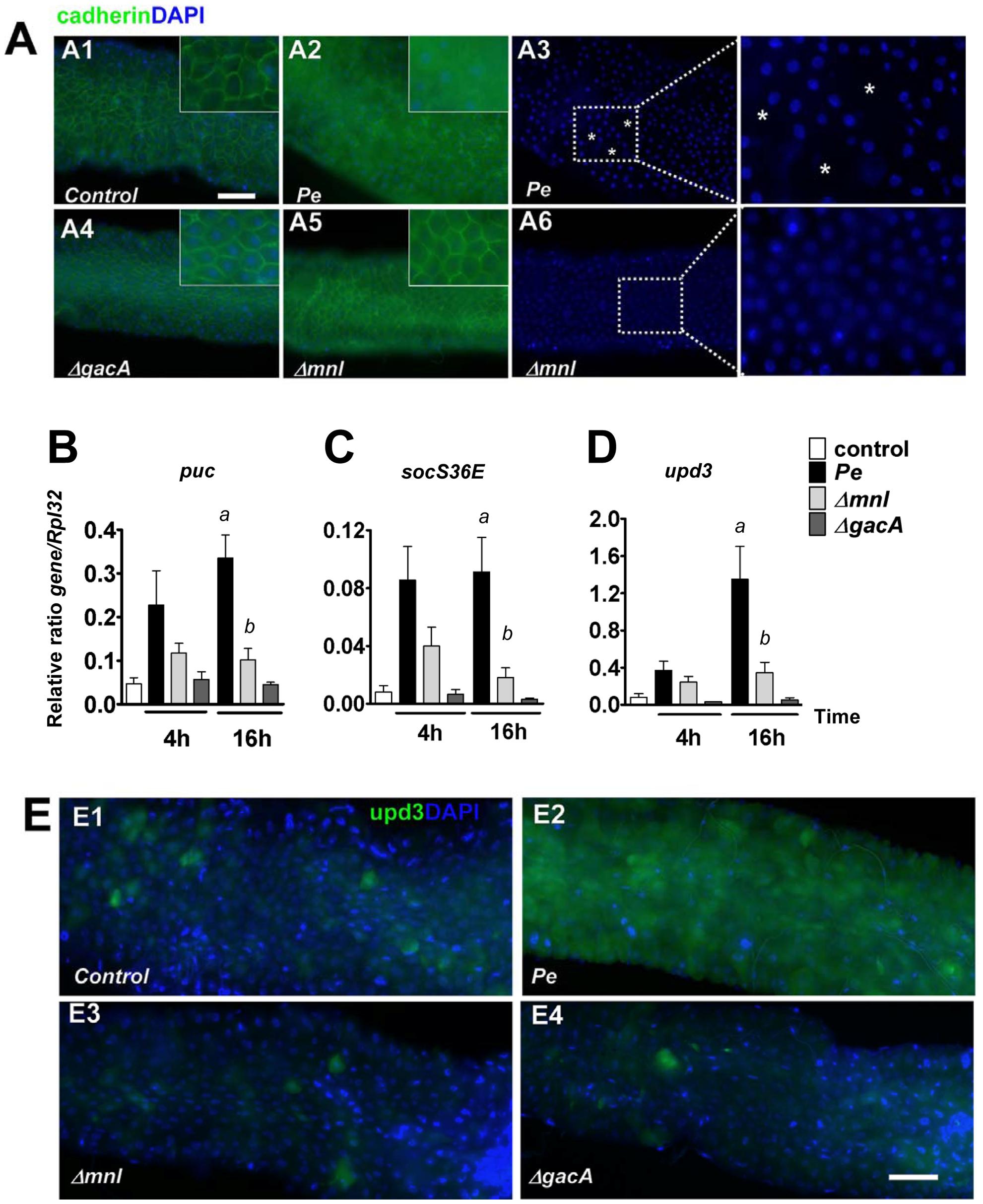 Monalysin contributes to <i>P. entomophila</i>-inflicted damage to the <i>Drosophila</i> gut.