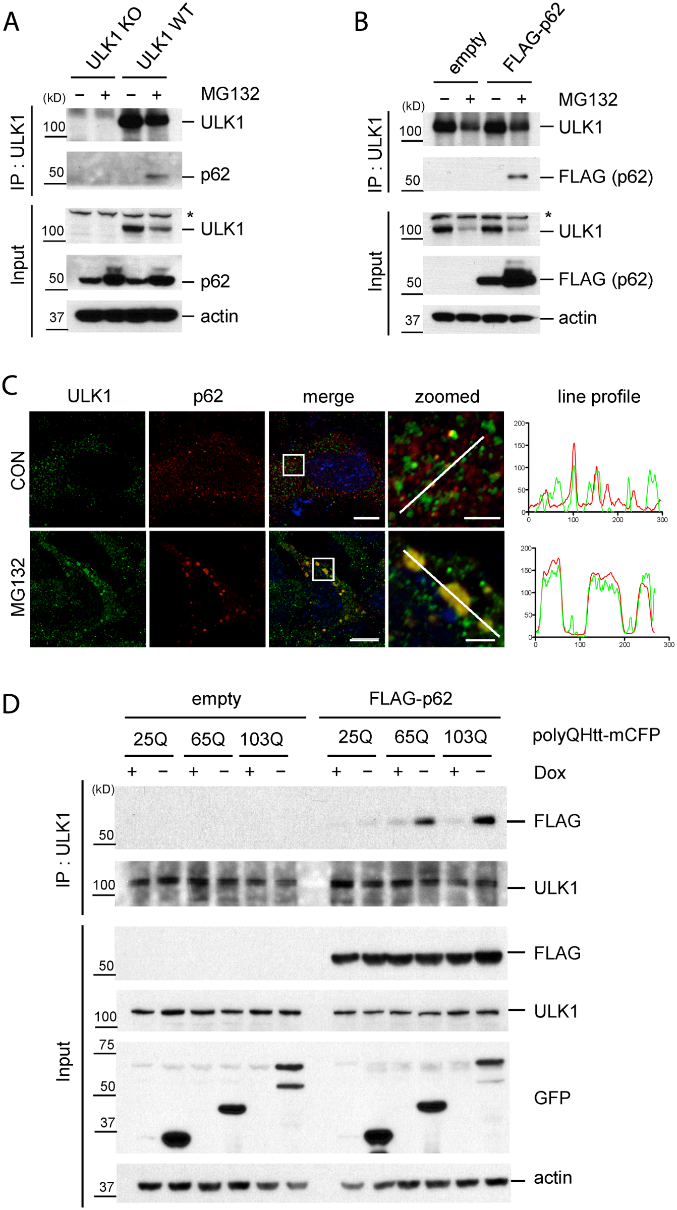 Accumulation of protein aggregates induces the interaction between ULK1 and p62.
