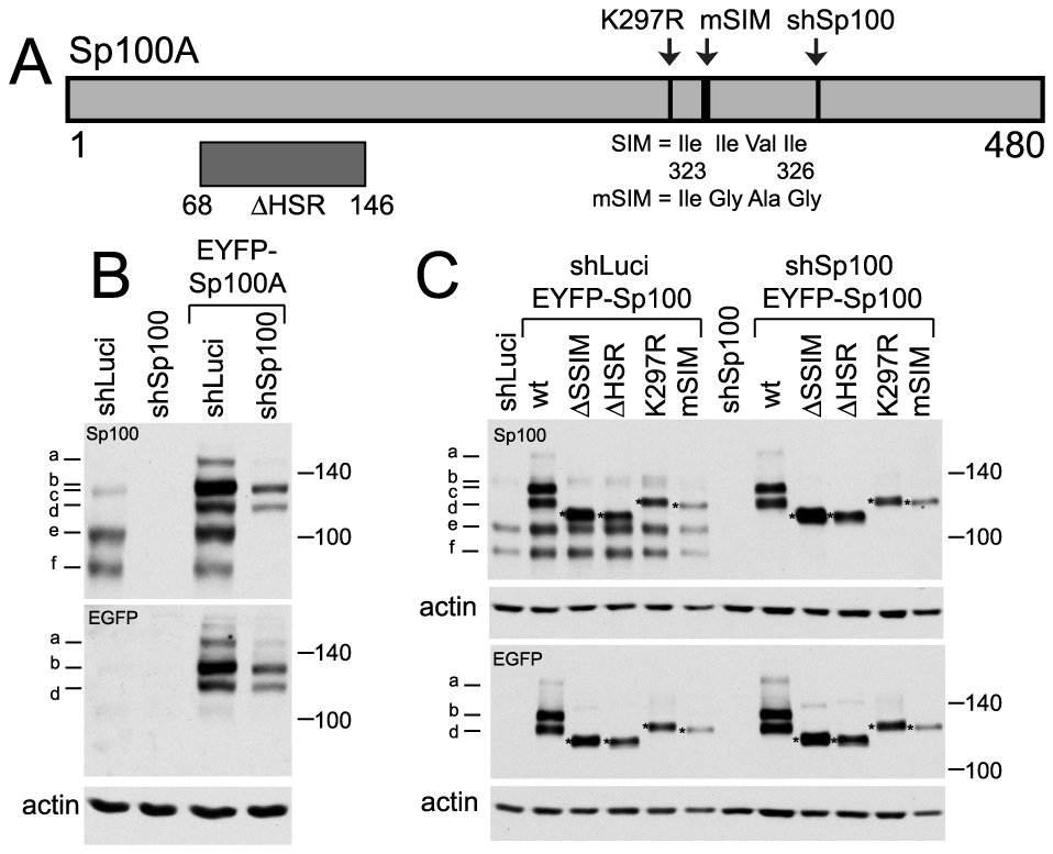 Expression and analysis of mutants of Sp100A and their recruitment to sites associated with HSV-1 genomes.