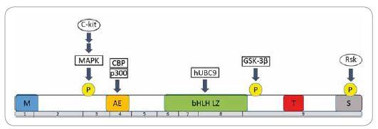Štruktúra proteínu MITF-M a regulácia jeho aktivity.