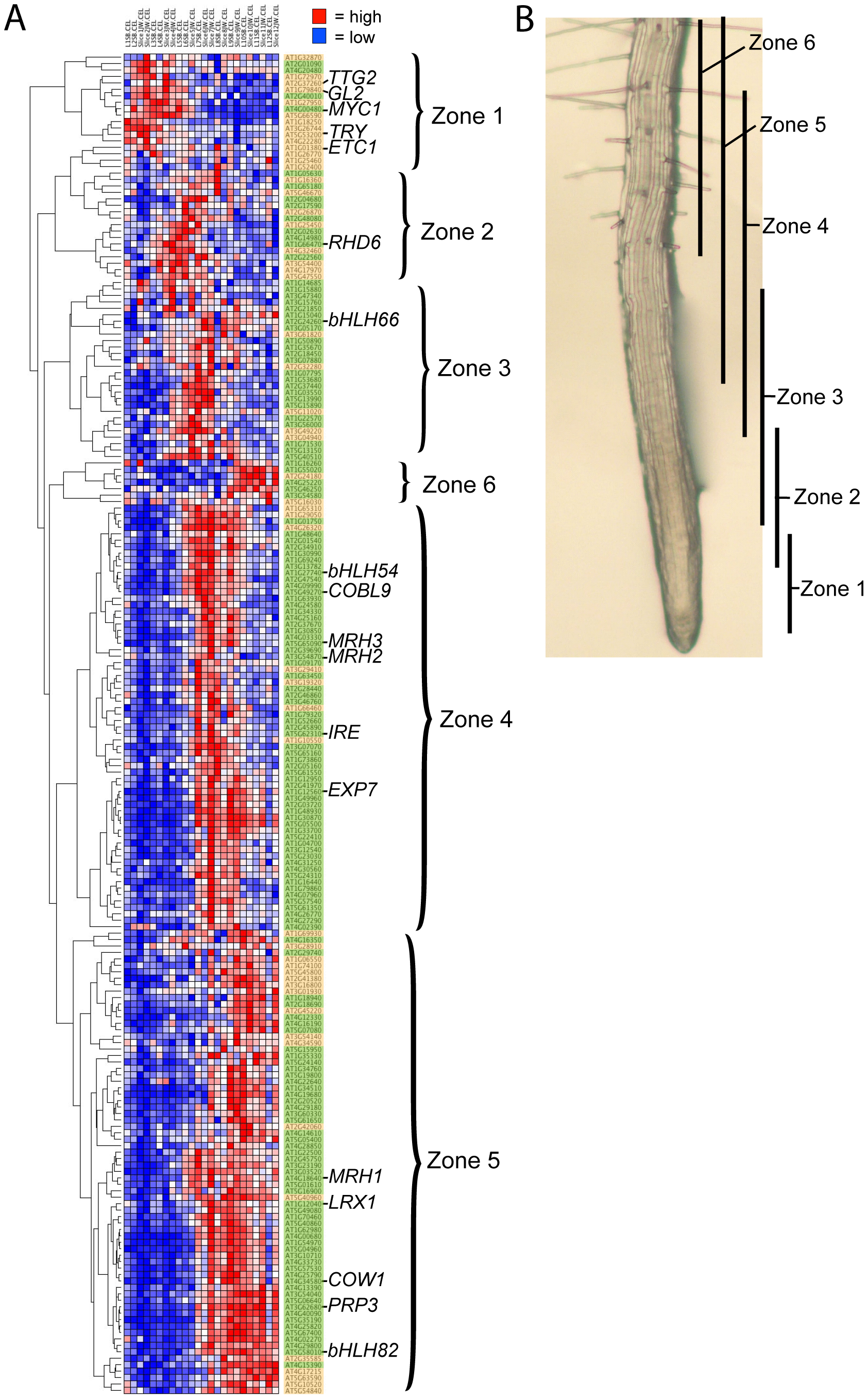 Developmental time-course of transcript accumulation for the 208 core root epidermal genes.