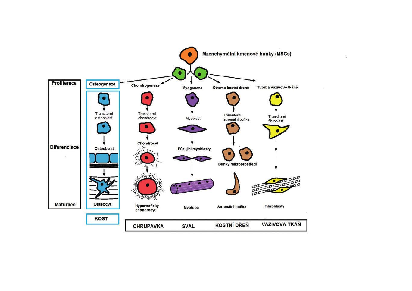 Schéma 1 Diferenciace MSC (27).