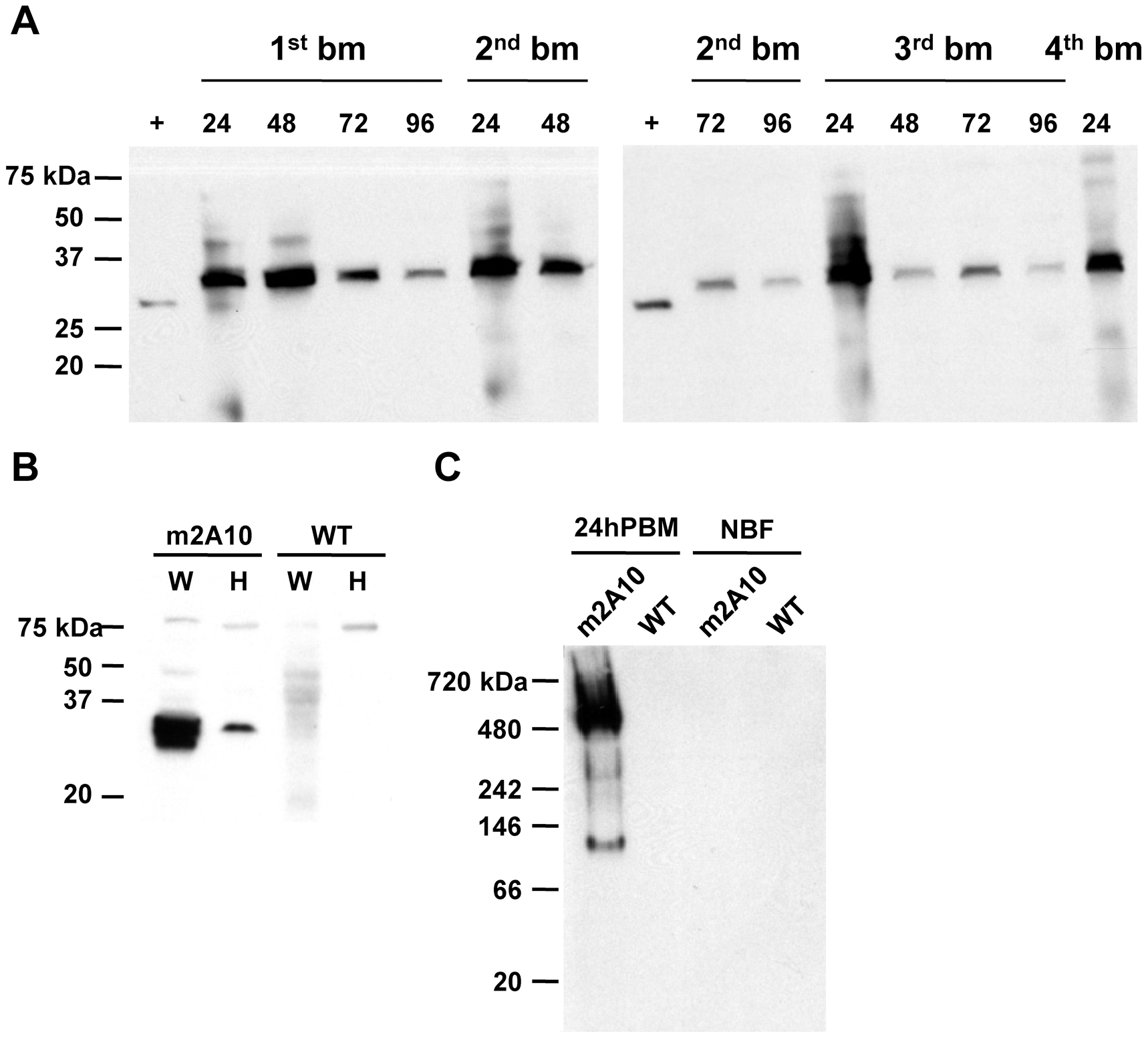 Bloodmeal-induced expression of m2A10 scFv.