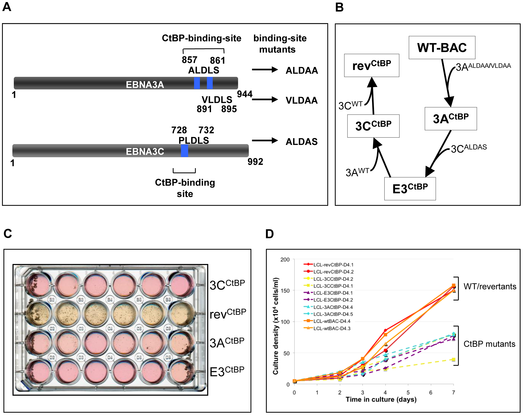 LCLs expressing CtBP-binding mutants of EBNA3A and EBNA3C grow relatively poorly.