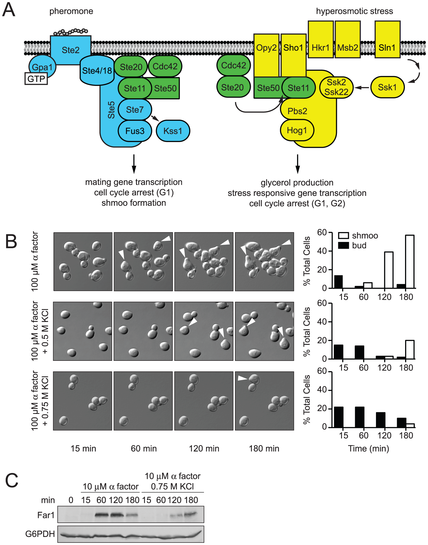 Hyperosmotic stress delays mating differentiation.