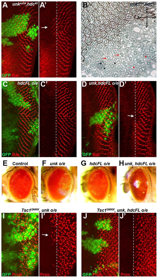 <i>unk</i> and <i>hdc</i> act together to control the timing of photoreceptor differentiation.