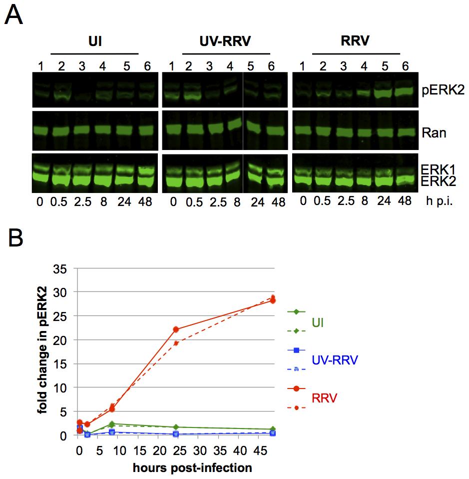 ERK activation is sustained in de novo RRV infection.