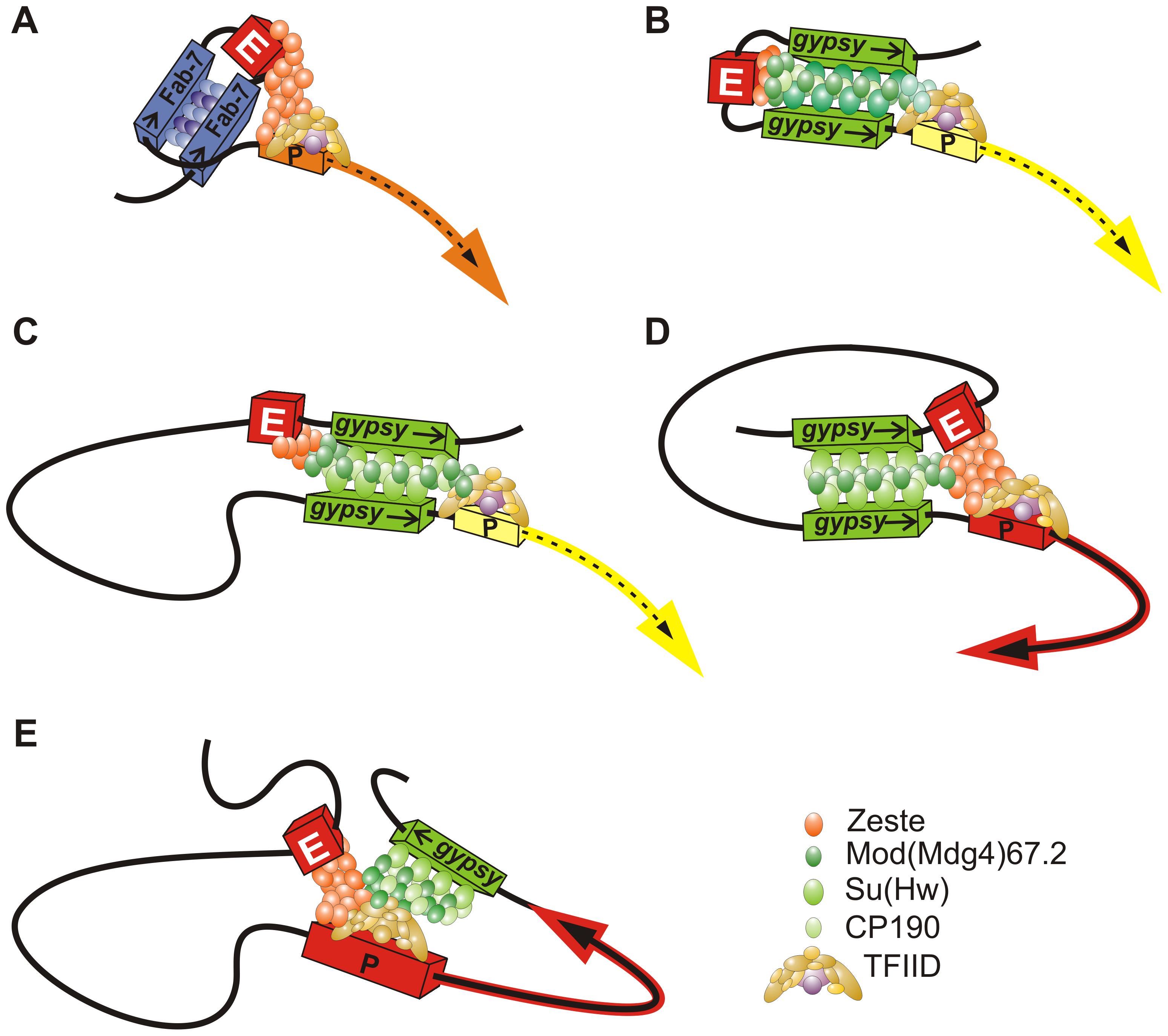 Model describing the mechanisms of enhancer blocking by the <i>gypsy</i> insulator.