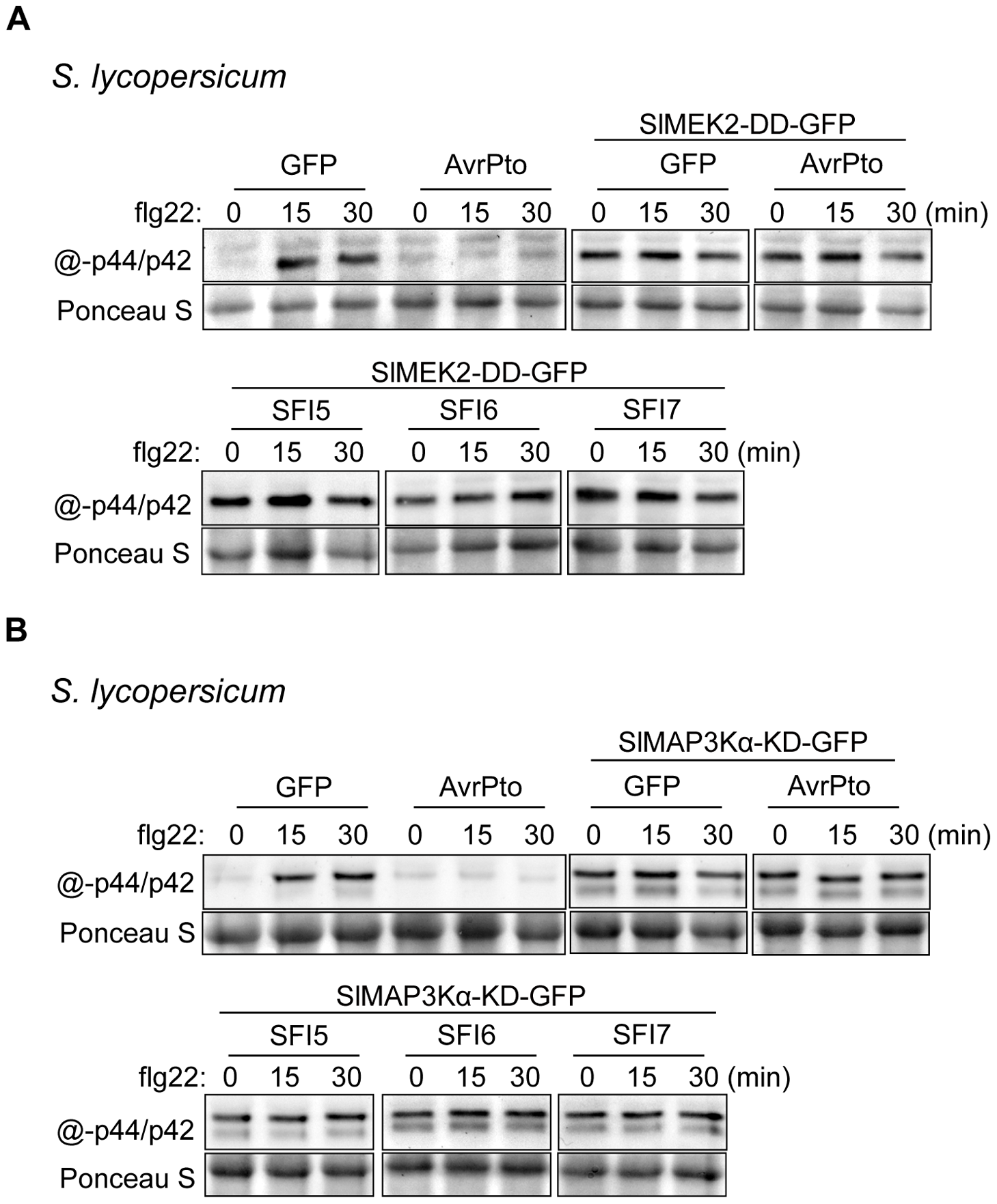 Epistatic analysis of MAP kinase activation upon flg22 treatment in <i>S. lycopersicum</i> protoplasts expressing SFI effector genes.