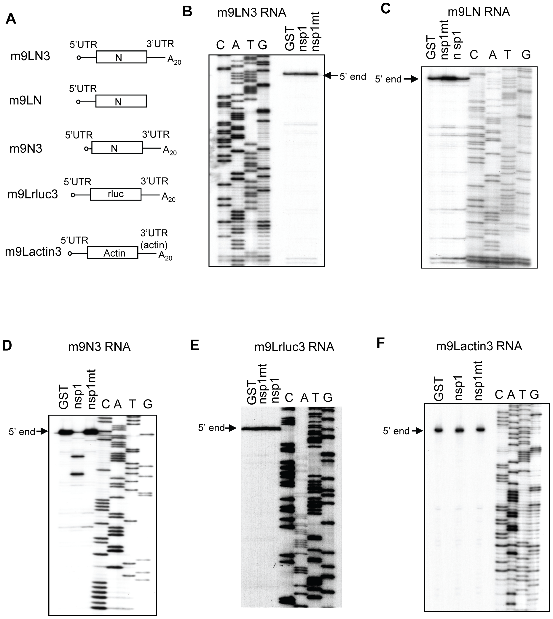 Susceptibilities of SCoV-like mRNAs to nsp1-induced RNA modification.