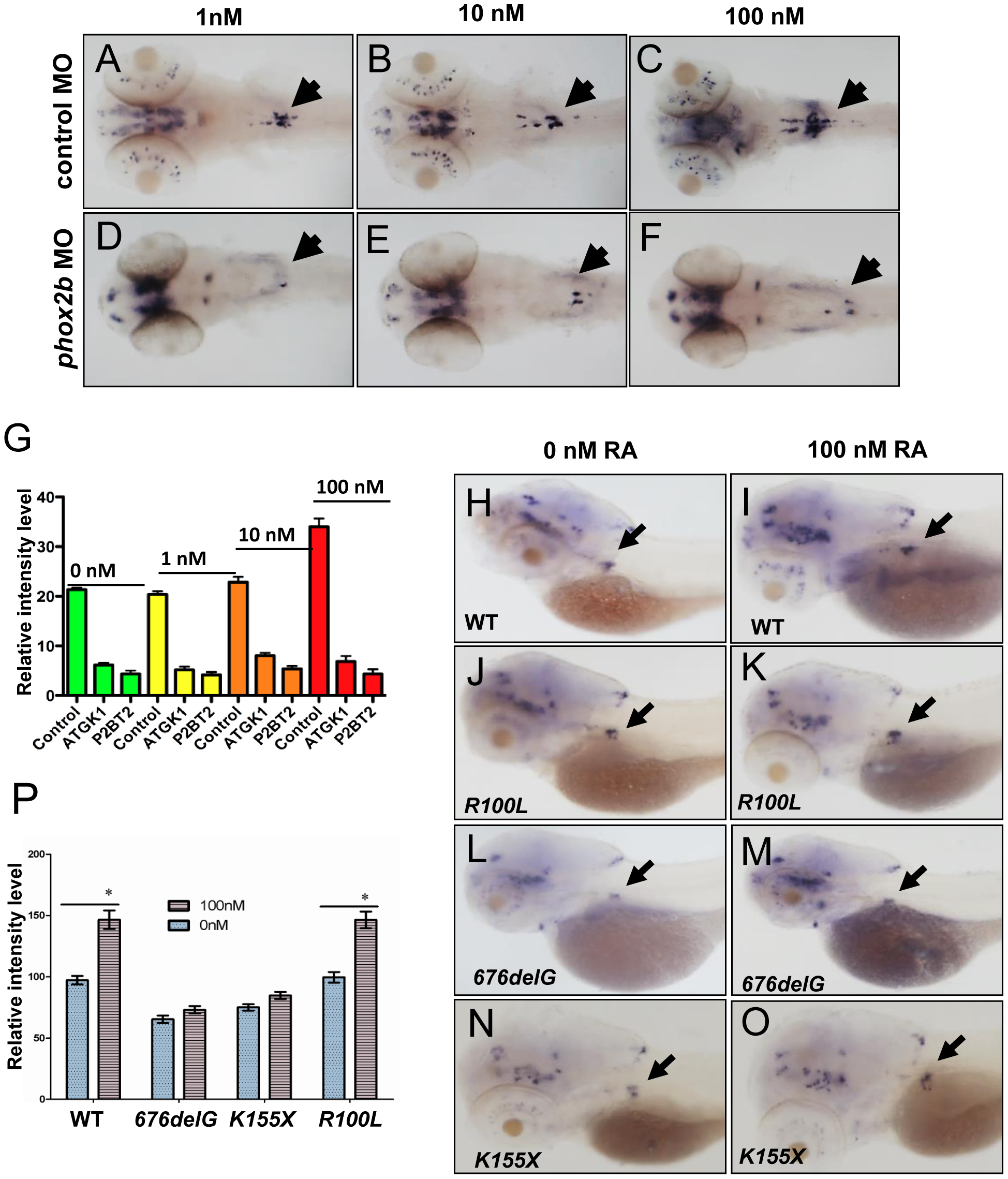 Impaired differentiation in the SCG due to <i>phox2b</i> deficiency is not rescued by retinoic acid.