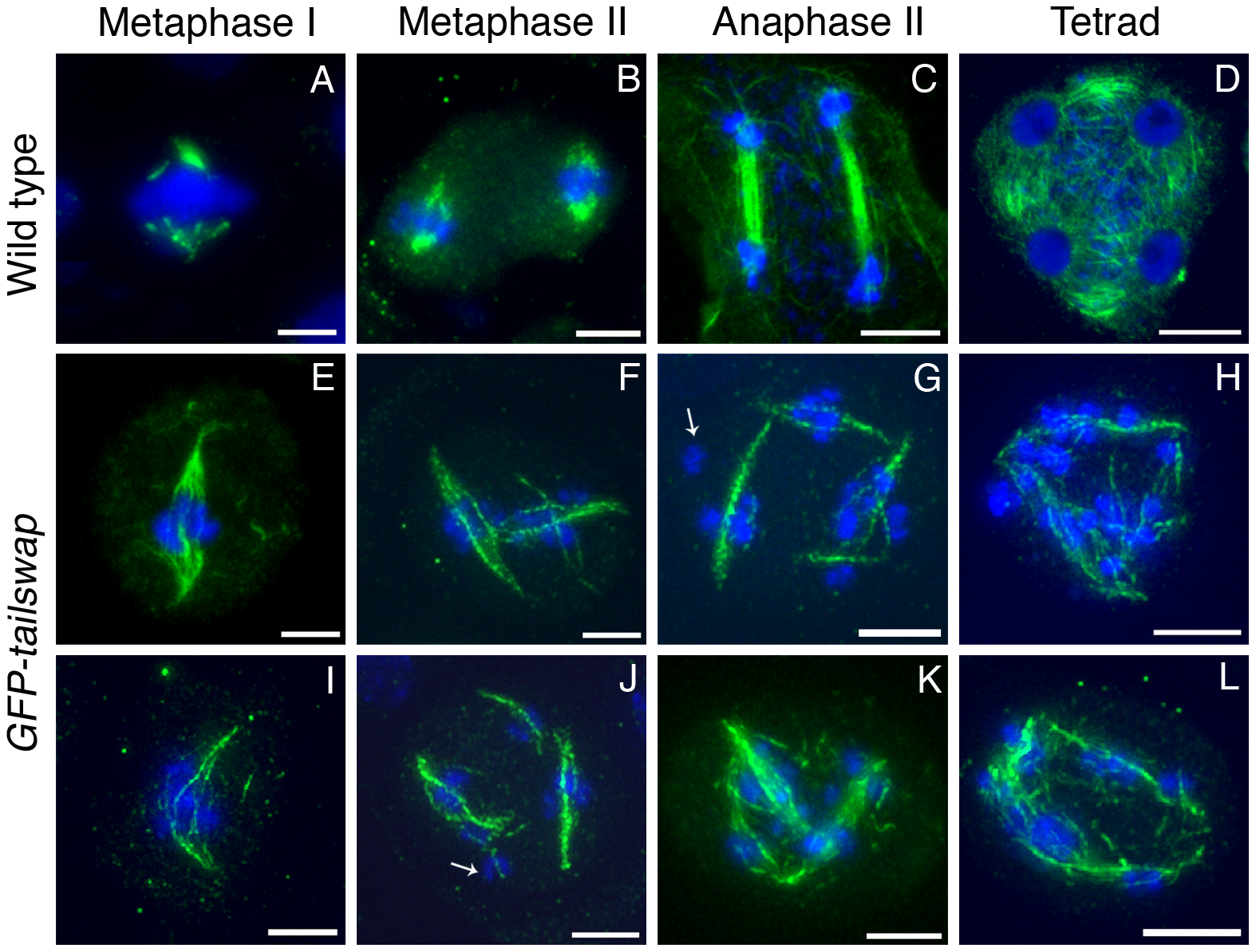 Immunolocalization of α-tubulin in wild type and <i>GFP-tailswap</i> meiocytes.