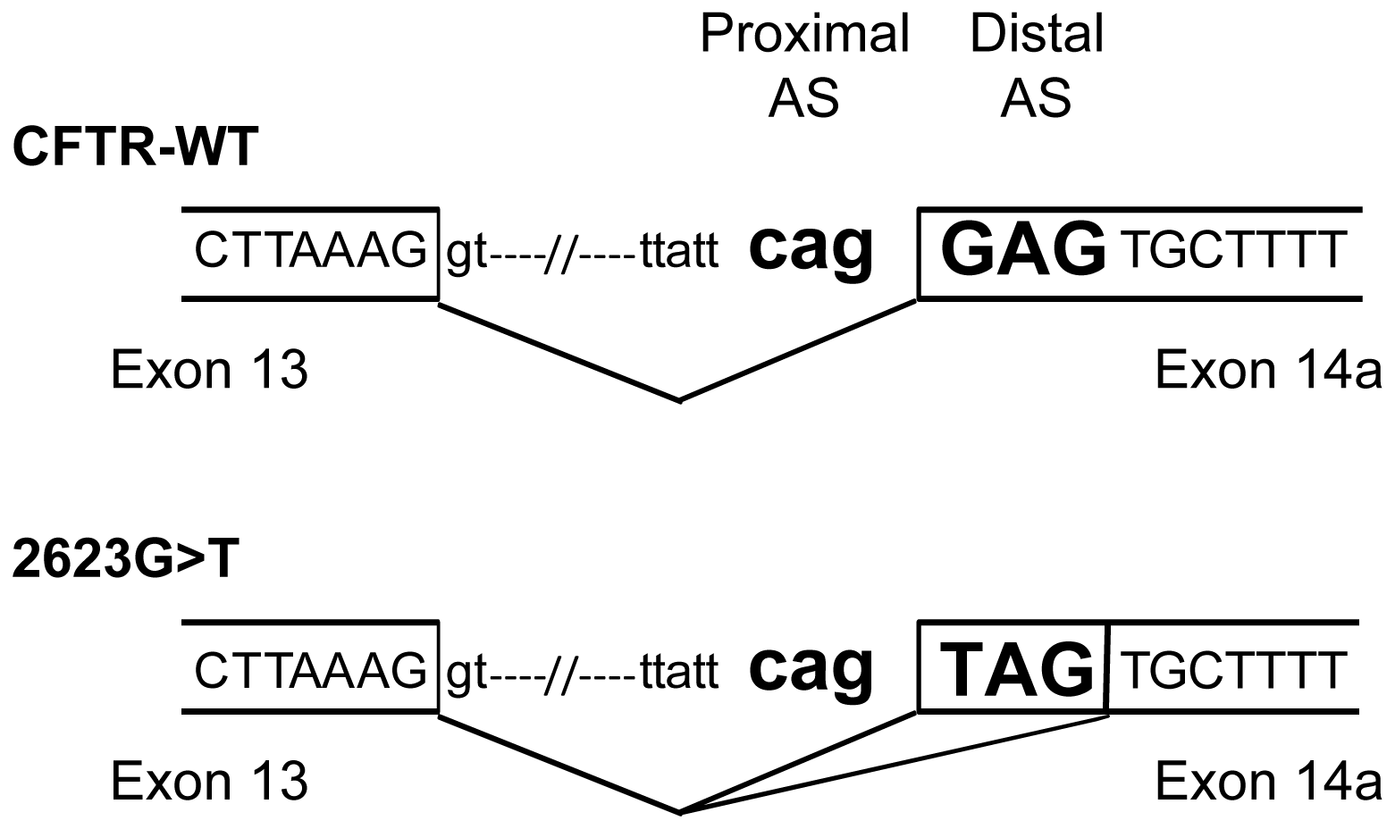 Schematic representation of the intron 13/exon 14a junction.