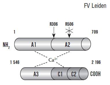 Prokoagulační struktura F V (převzato z práce Segers K, Dahlbäck B, Nicolaes G. Coagulation factor V and thrombophilia: Background and mechanisms).