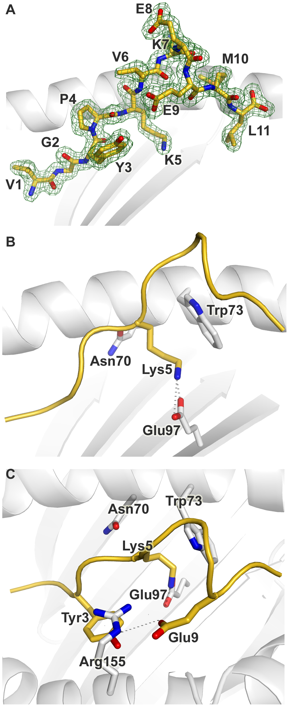 Conformation of the bound peptide.