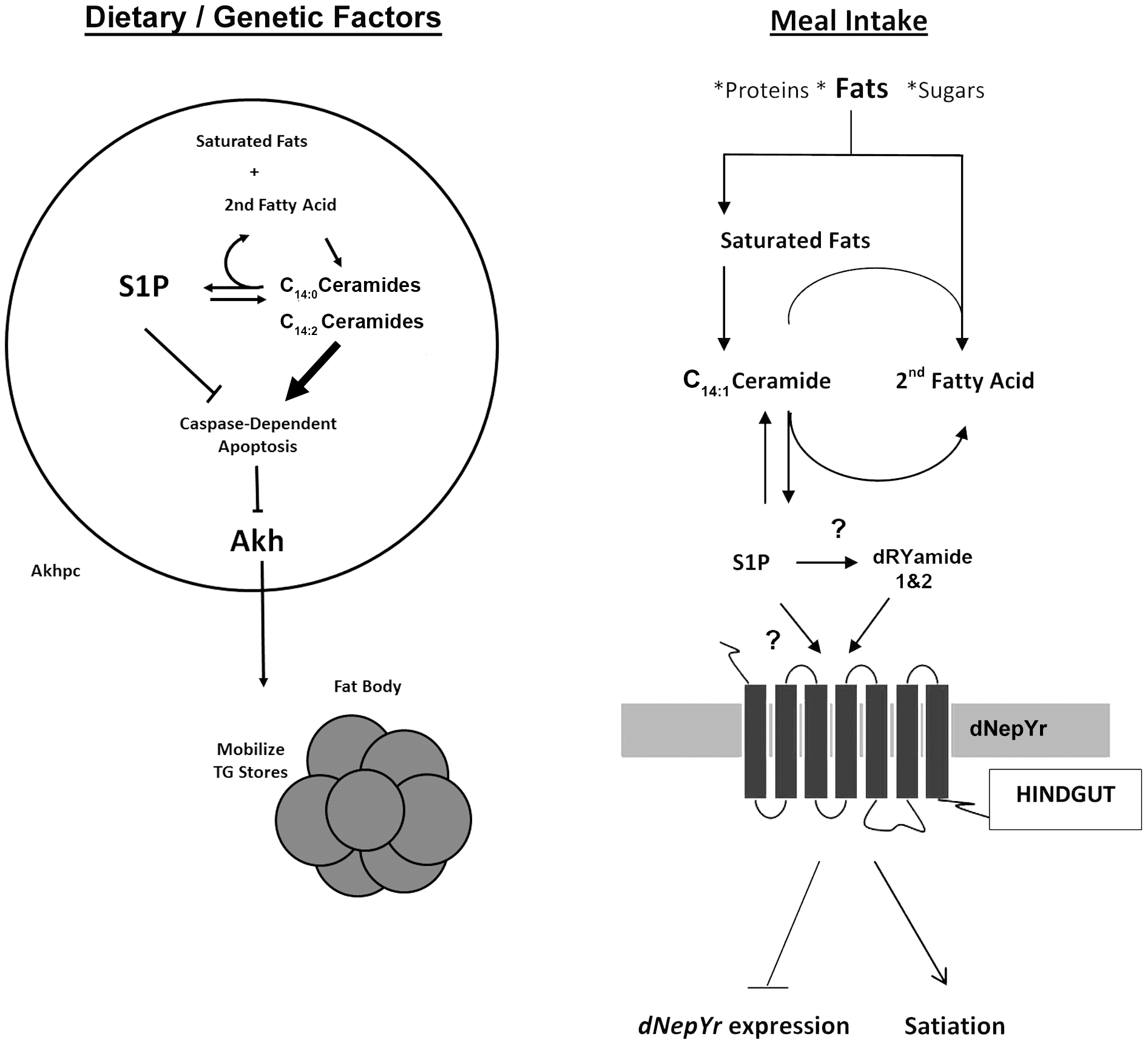 Sphingolipid regulation of caloric intake and fat mobilization.