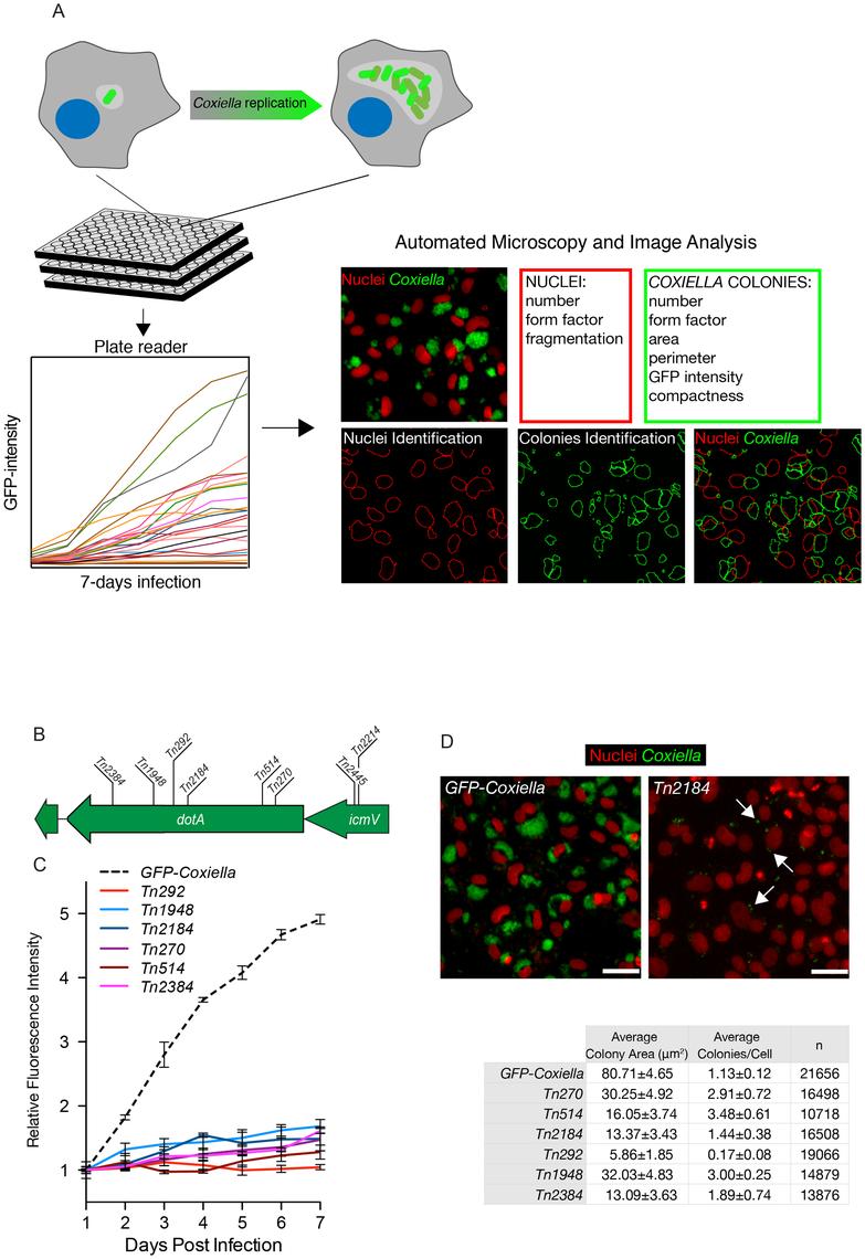 Multi-phenotypic high-content screen of <i>Coxiella</i> transposon mutants.