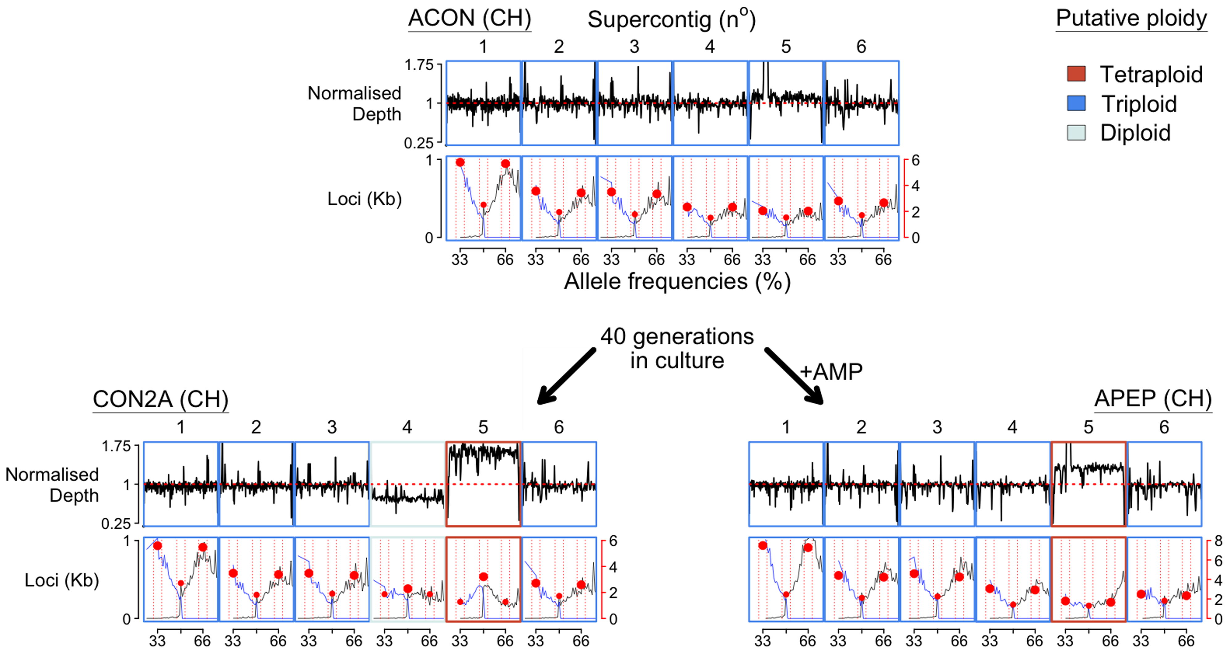 Chromosome copy number variation was identified across the three <i>Bd</i>CH isolates (ACON and its progenitors CON2A and APEP) following 40 generations in culture with or without the addition of anti-microbial peptides (AMP), respectively.