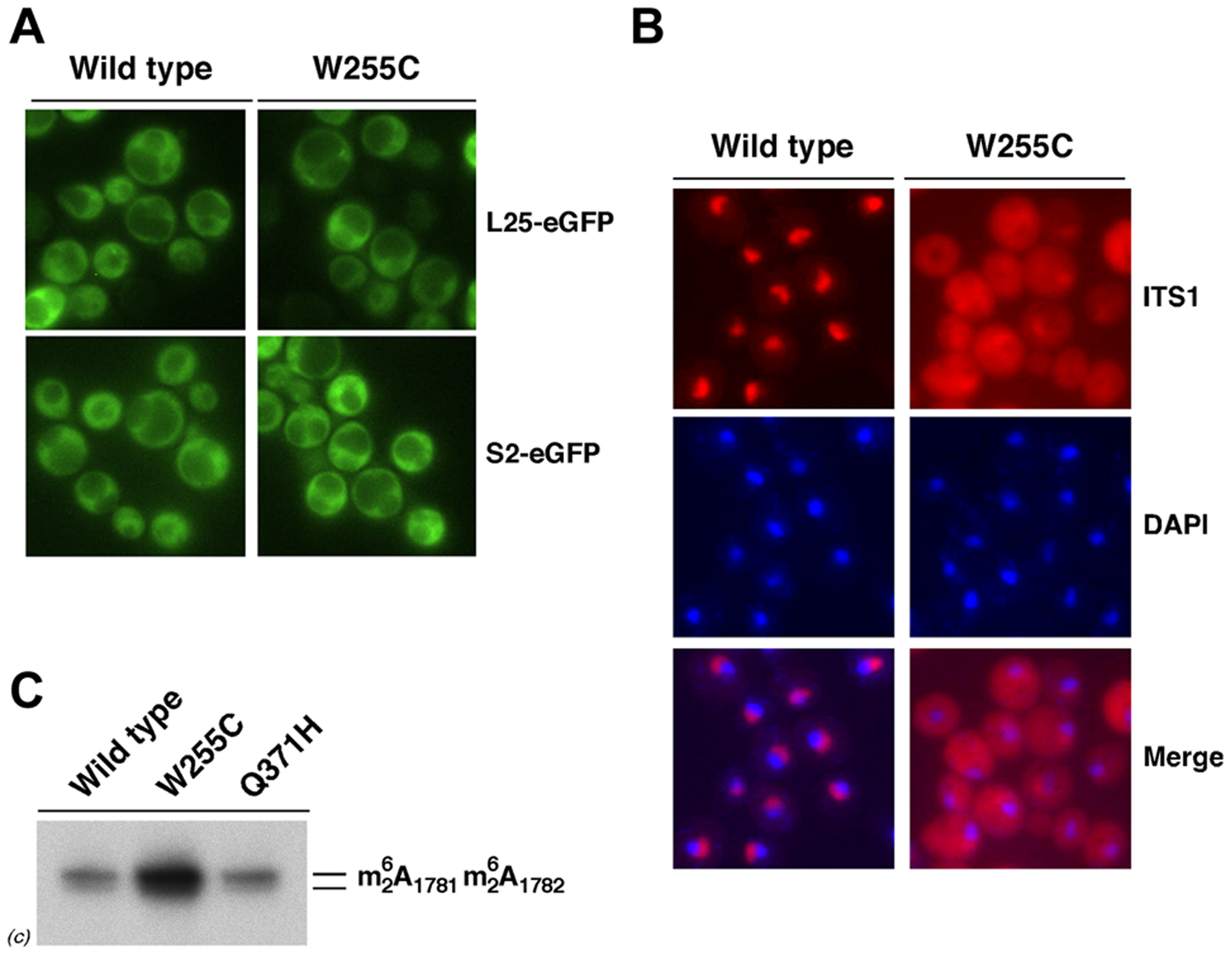 The 20S pre-rRNA accumulates in the cytoplasm of <i>rpl3</i>[W255C] cells.