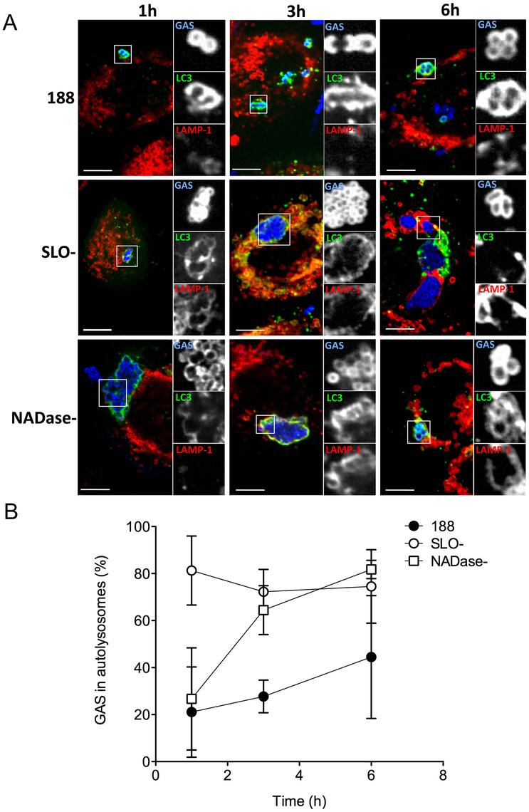 SLO and NADase inhibit lysosomal fusion to GAS-containing autophagosomes in oropharyngeal keratinocytes.