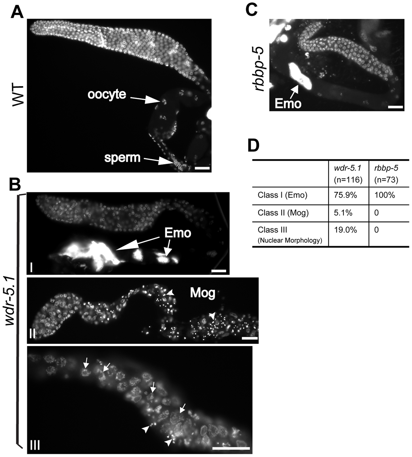 Temperature-sensitive germ cell development defects in <i>wdr-5.1</i> and <i>rbbp-5</i> mutants.