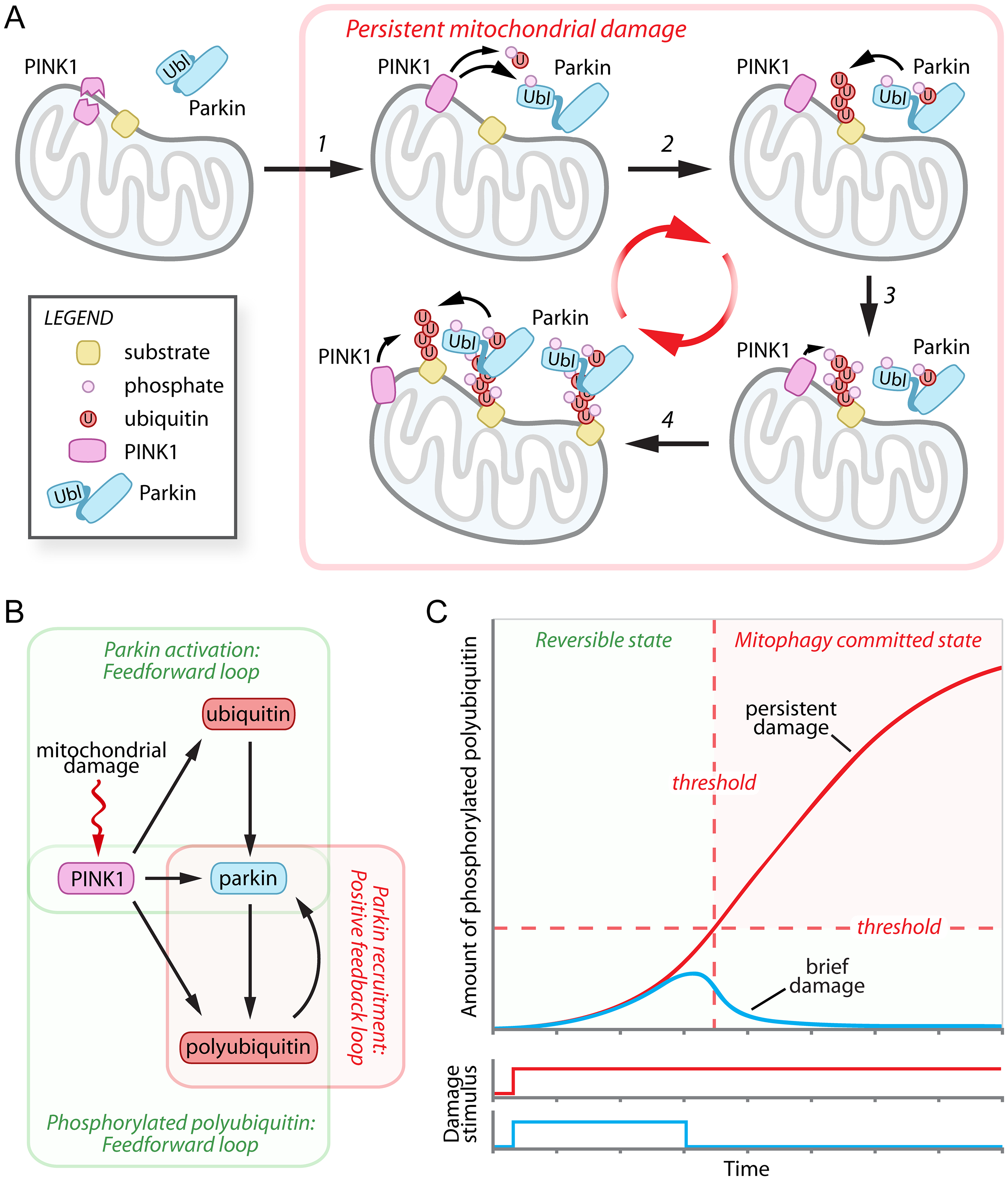 Damage-induced feedforward and positive feedback loops mediate the cellular decision to destroy mitochondria.
