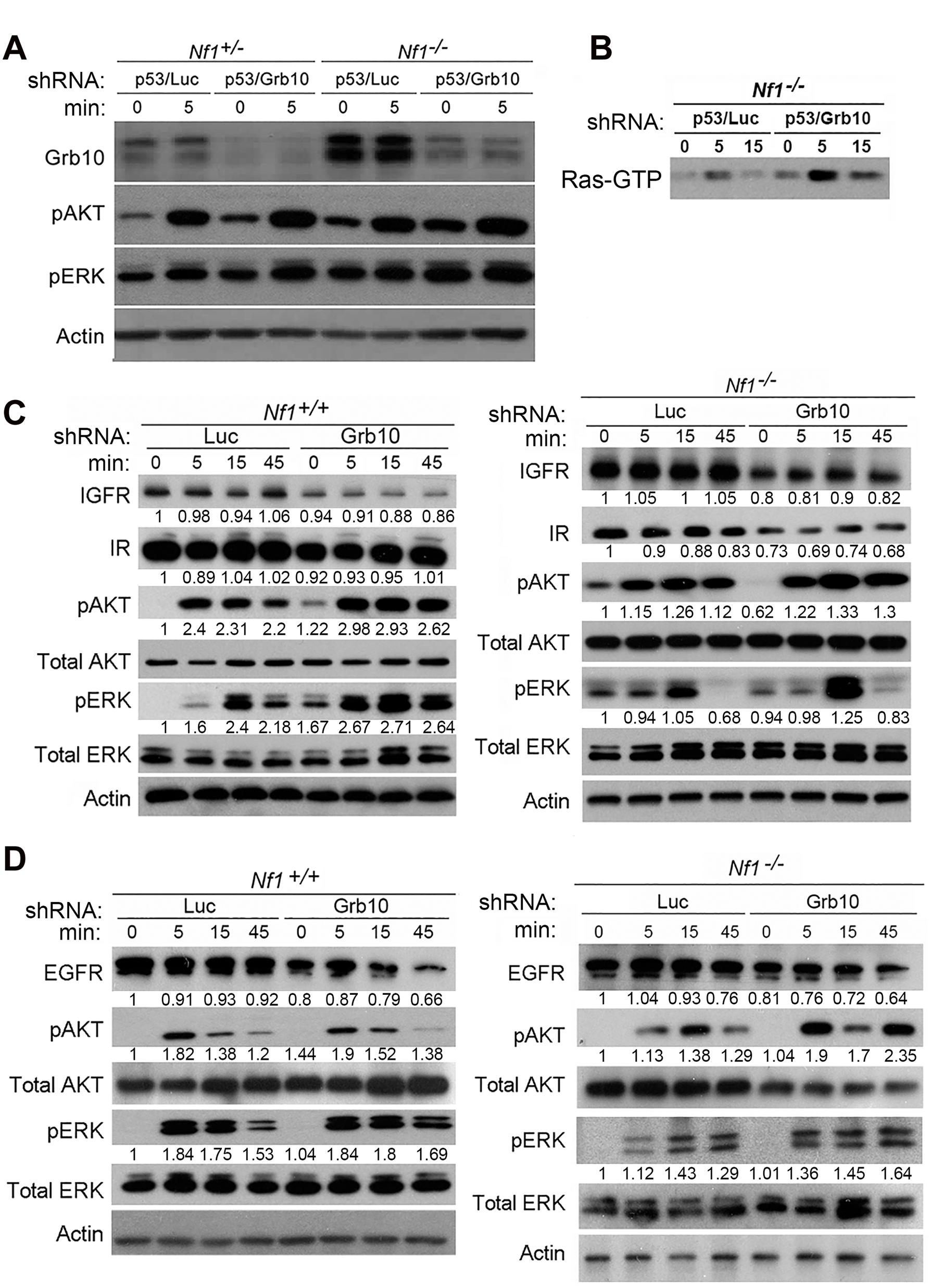 <i>Grb10</i> silencing in MEFs increases Ras signaling.