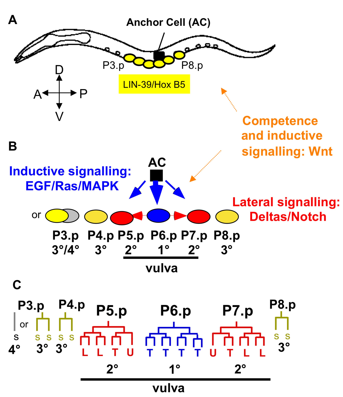 <i>Caenorhabditis elegans</i> vulval cell fate patterning.