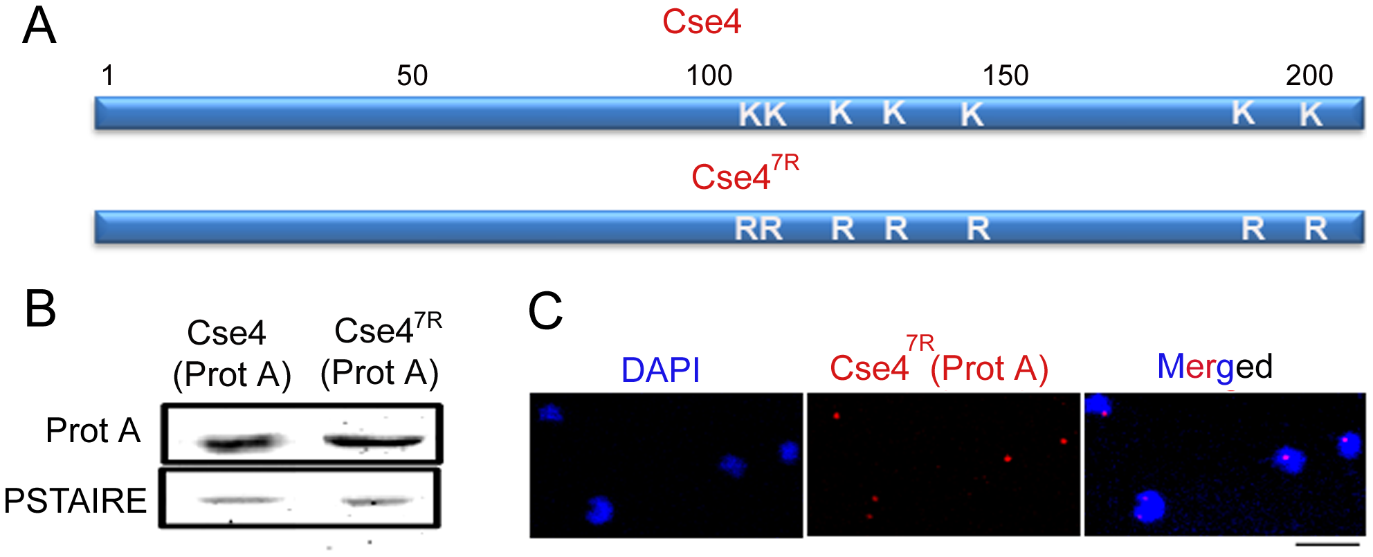 Cse4<sup>7R</sup> -Prot A is functional in <i>C. albicans</i>.