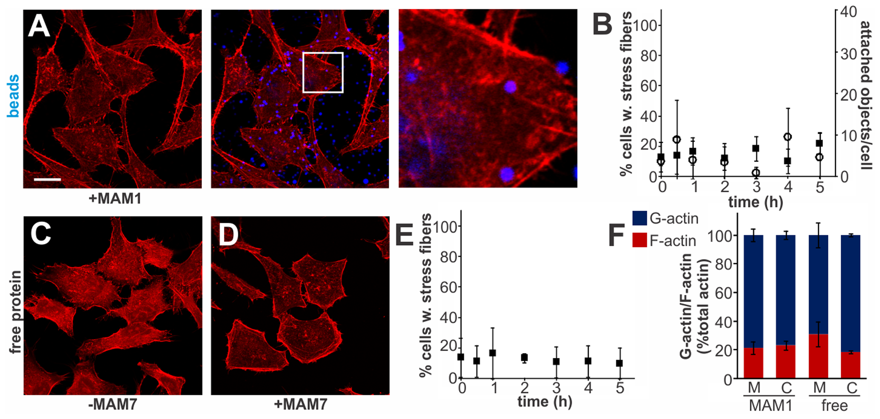 Multivalent, clustered MAM7 is necessary to trigger actin rearrangements in host cells.