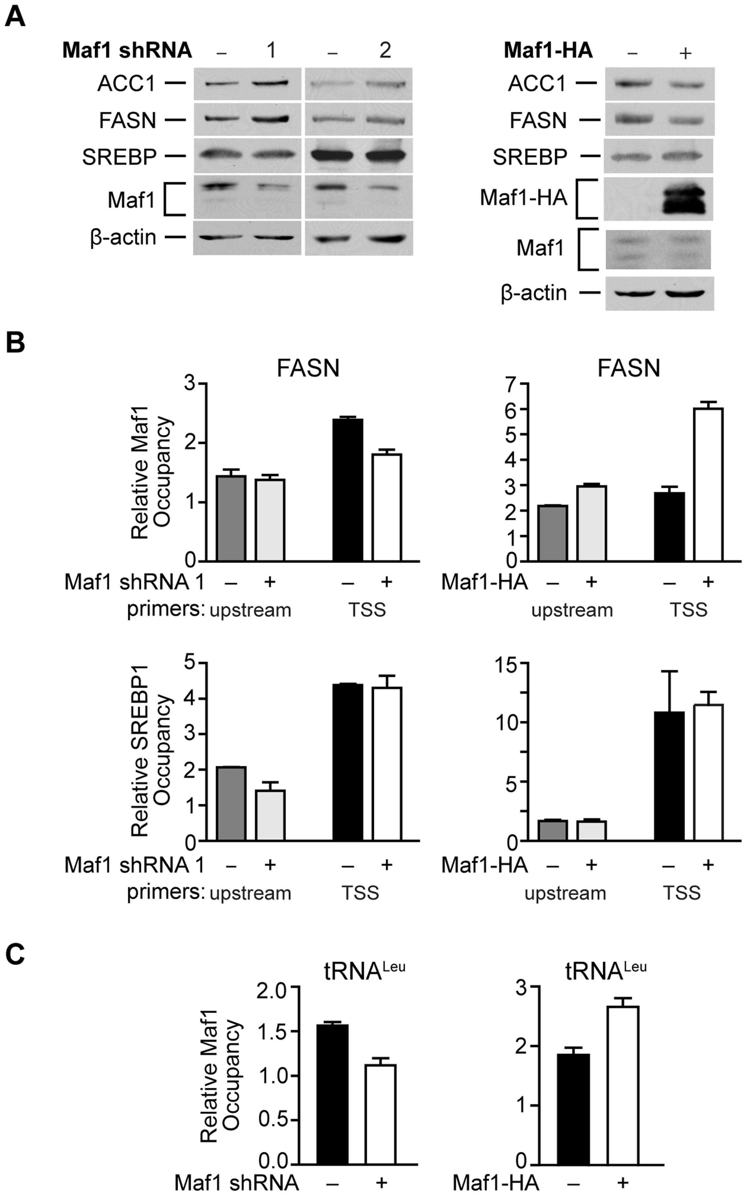 Maf1 occupies the FASN promoter to repress lipogenic gene expression.