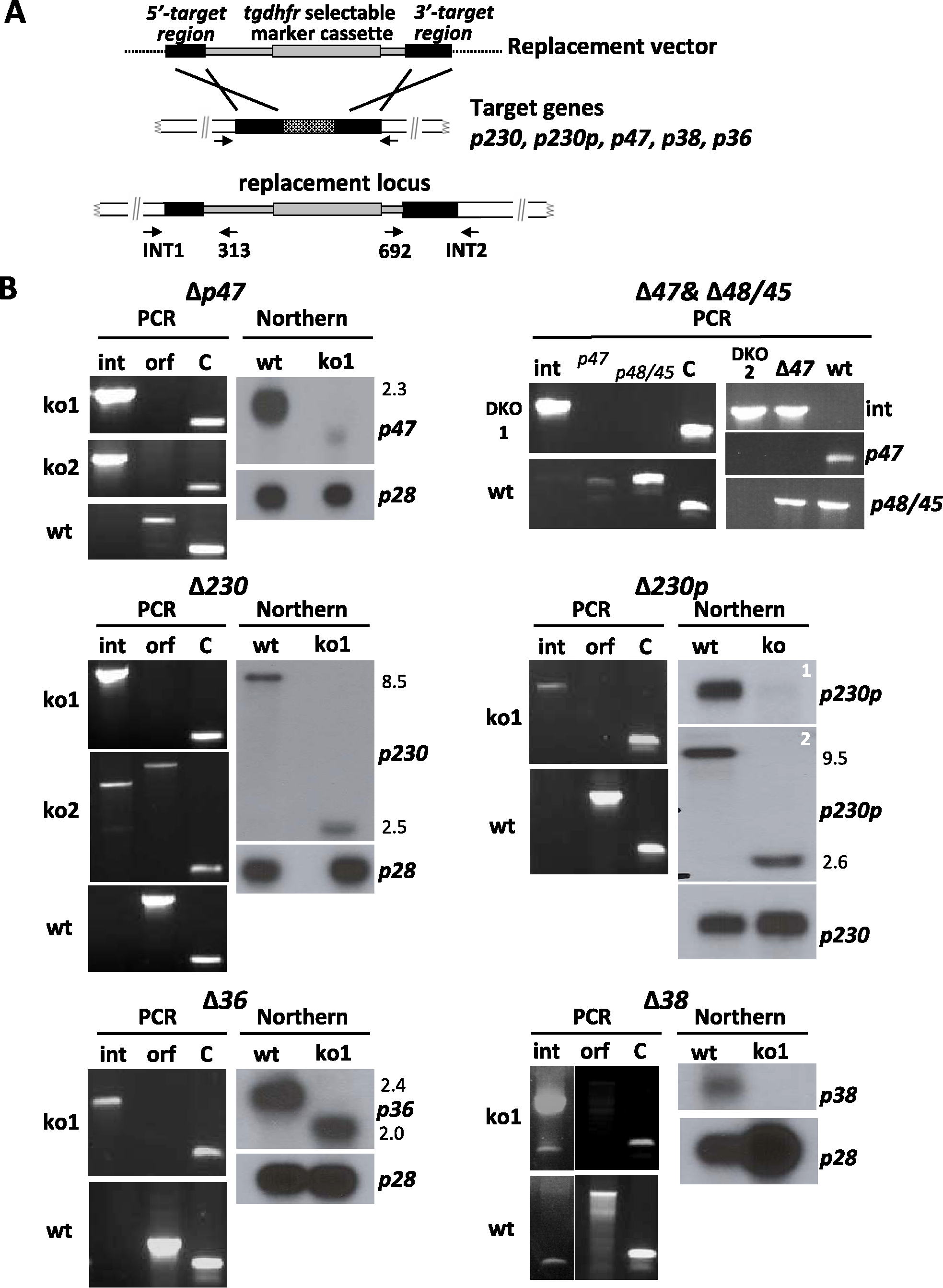 Generation and analysis of mutants lacking expression of different members of the 6-cys family of genes.