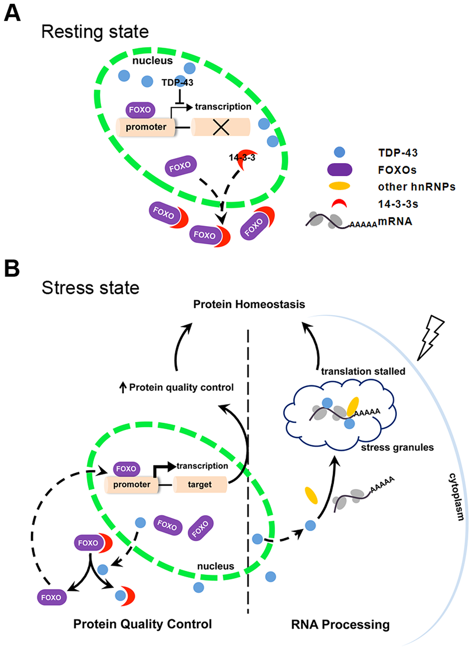 Schematic diagram summarizing the mechanism by which TDP-43 acts as a stress-response switch to regulate protein homeostasis.