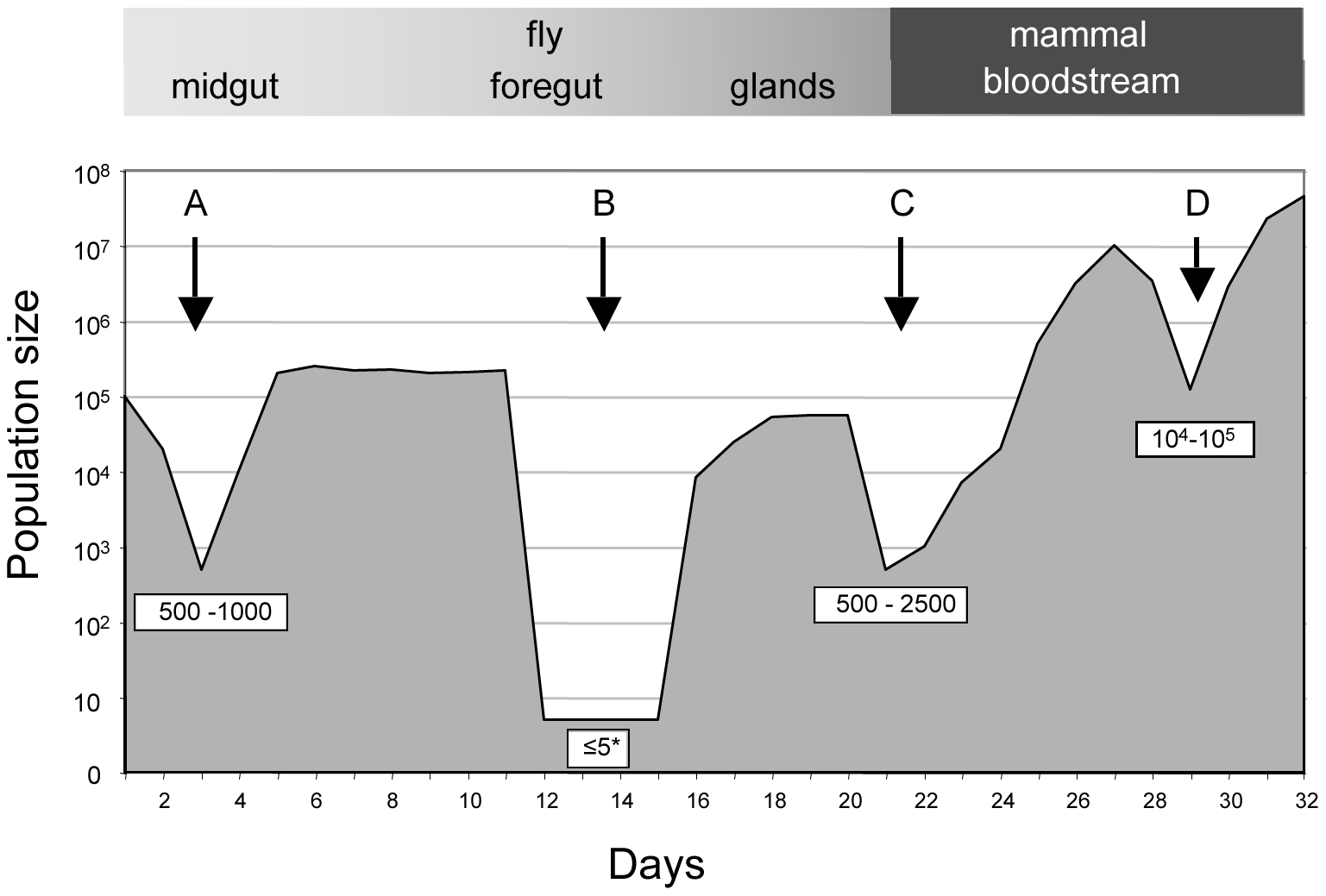 Population size through the life cycle of <i>T. brucei</i> based on data from this study.