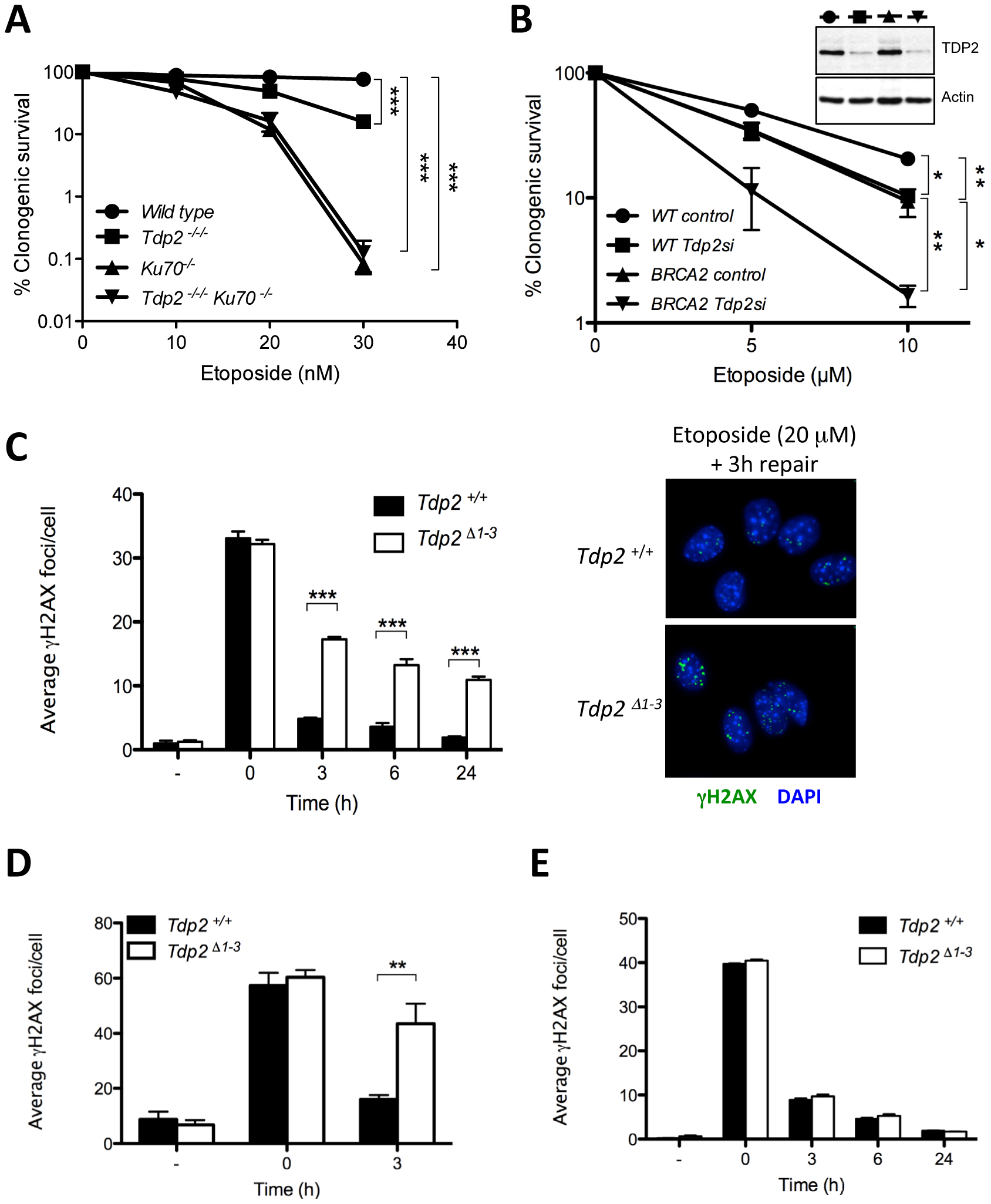 TDP2 promotes repair of TOP2-induced DSBs by NHEJ.