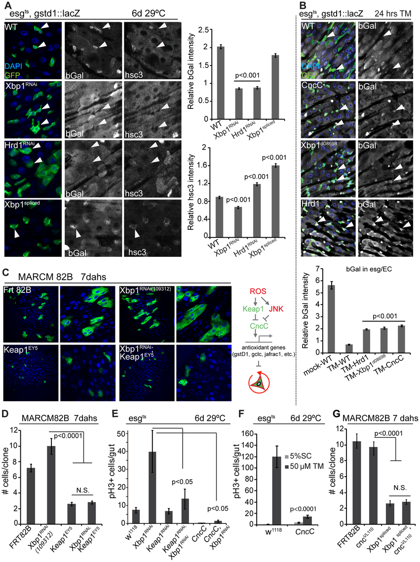 Xbp1 coordinates with Keap-CncC in ISC proliferation.