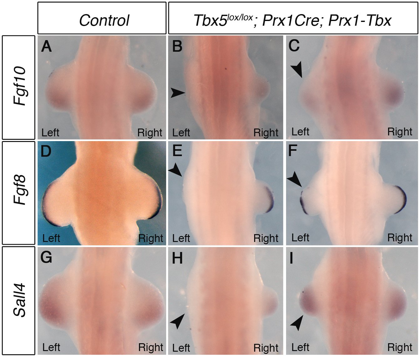 Marker gene expression in left and right forelimb buds of <i>Tbx</i> hypomorphs.