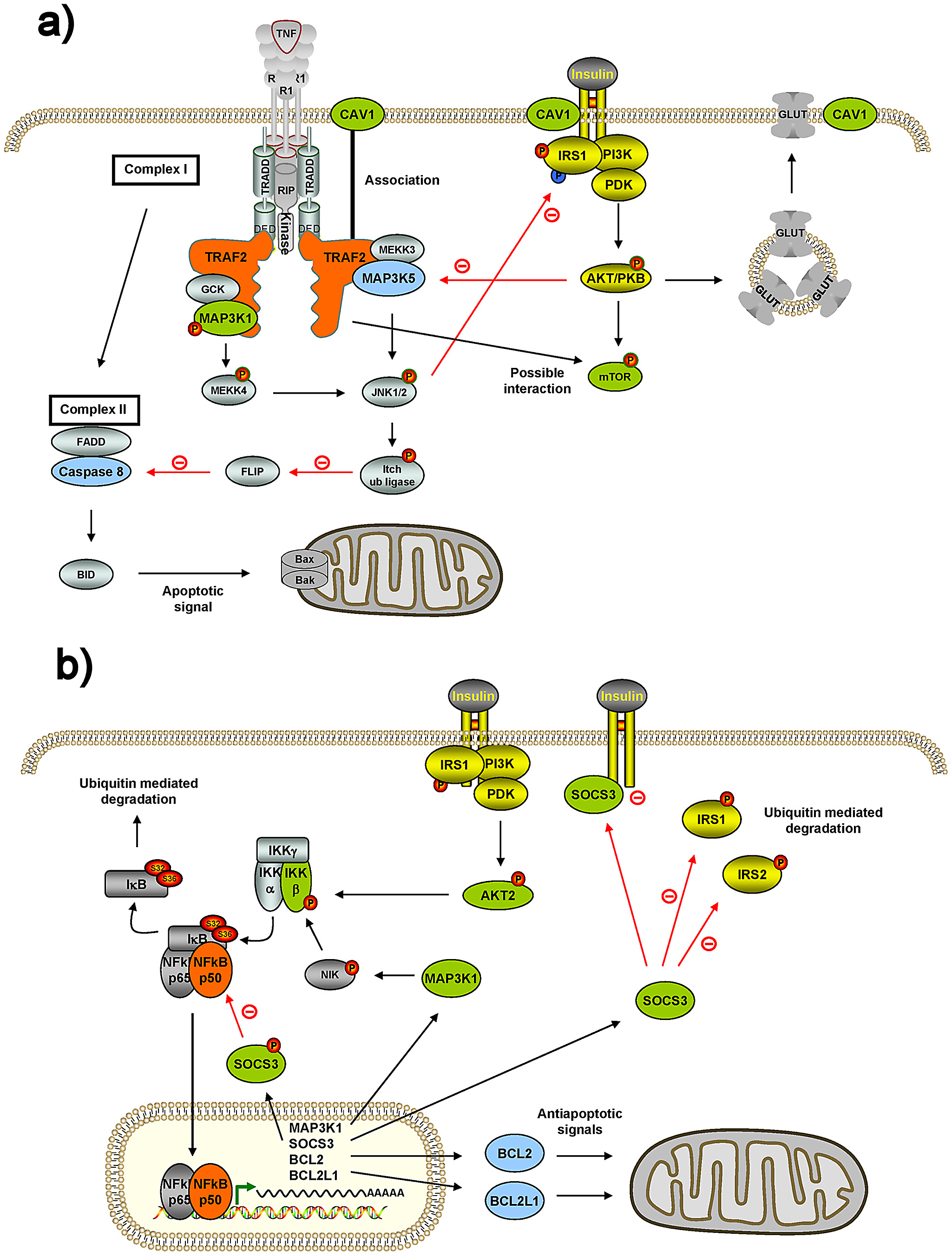 Connections of two internode genes, TRAF2 and NFKB1, with insulin genes and mitochondria genes.