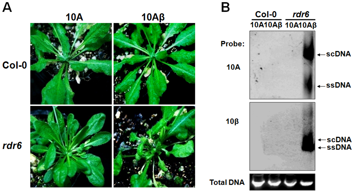 RDR6 mediates nonhost defense against TYLCCNV in <i>Arabidopsis</i>.