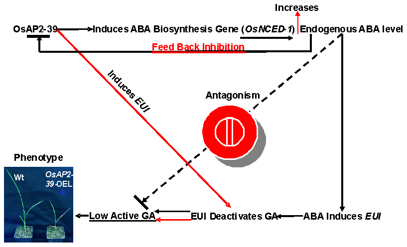 A schematic diagram of the involvement of OsAP2-39 in the ABA and GA antagonism and homeostasis.