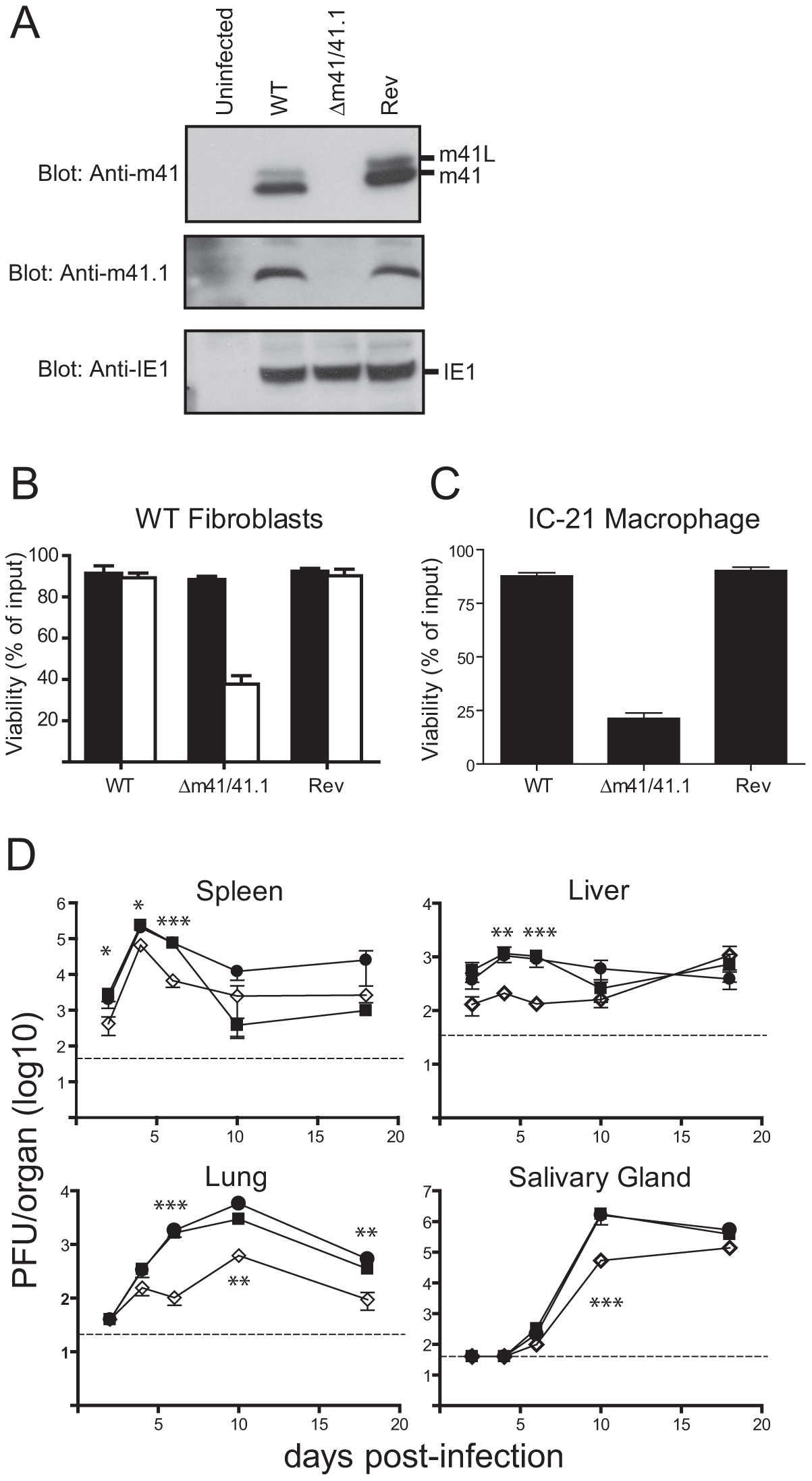 Mutation of the m41 ORF inhibits viral replication.