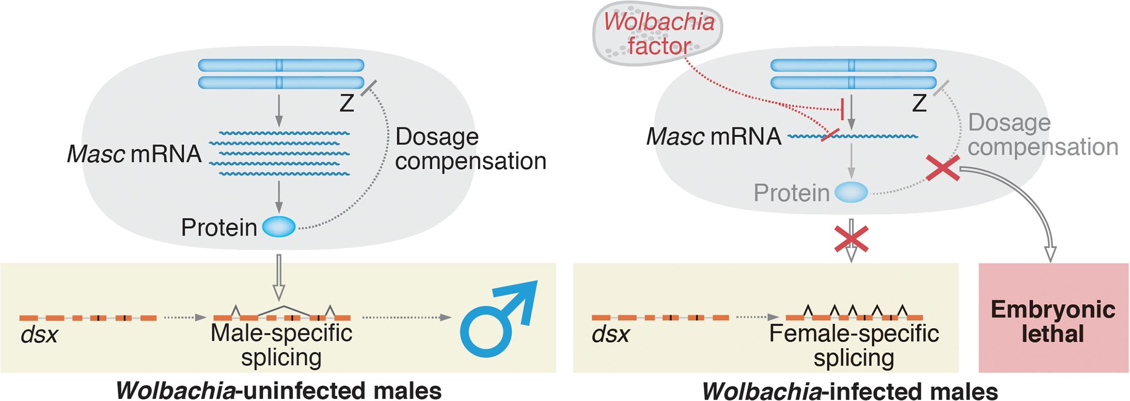 A proposed model for <i>Wolbachia</i>-induced male-killing in <i>Ostrinia</i>.