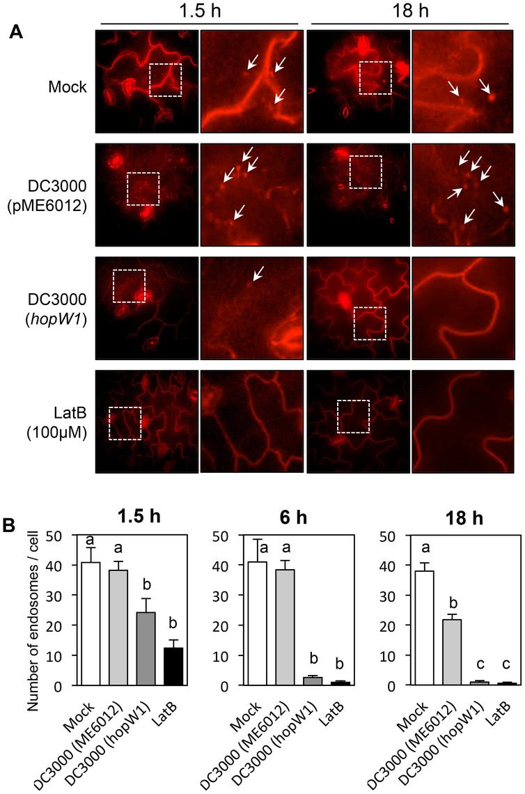 <i>Pto</i>DC3000/HopW1 infection inhibits endocytosis.
