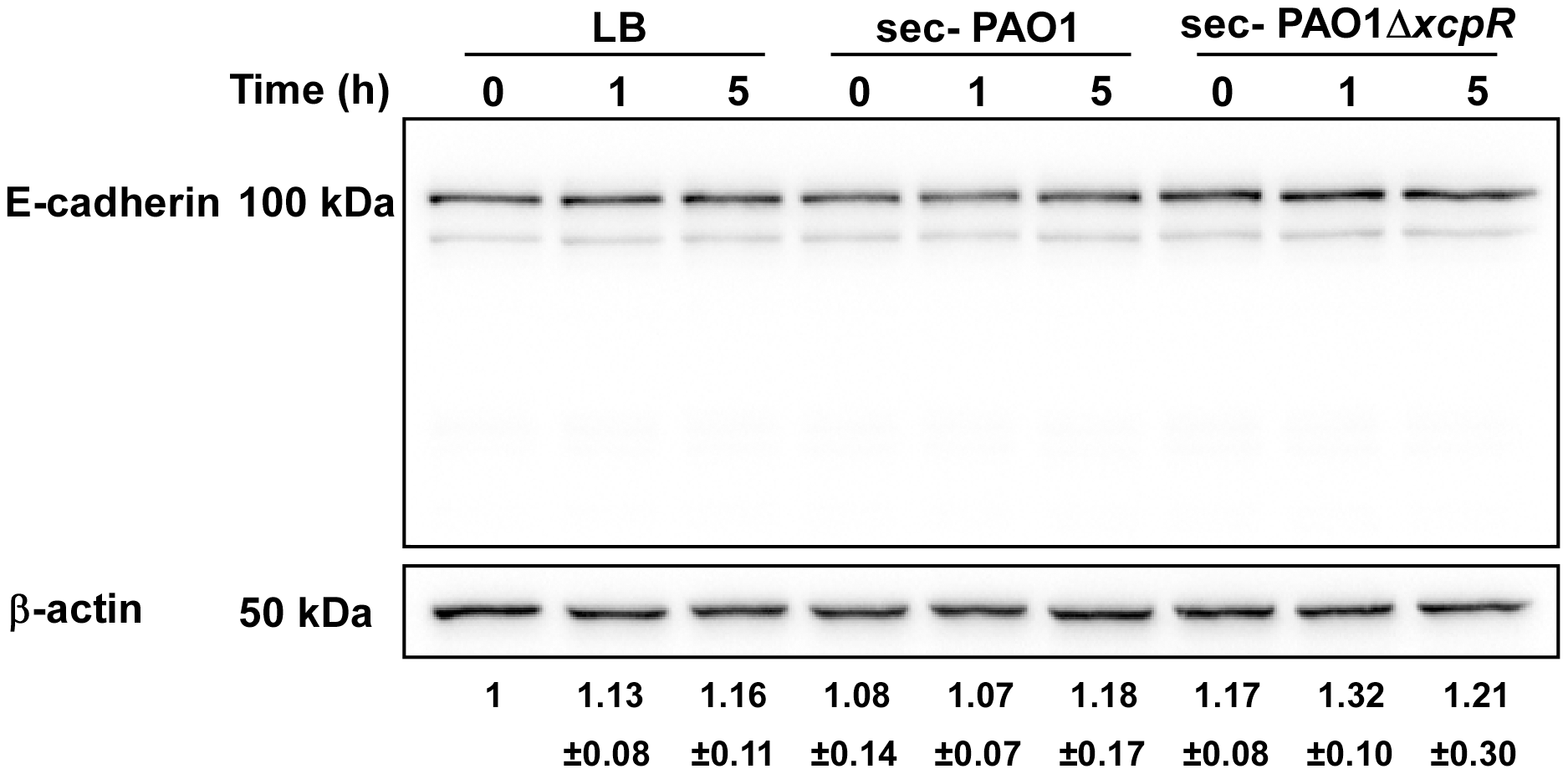 E-cadherin is resistant to LasB proteolysis.