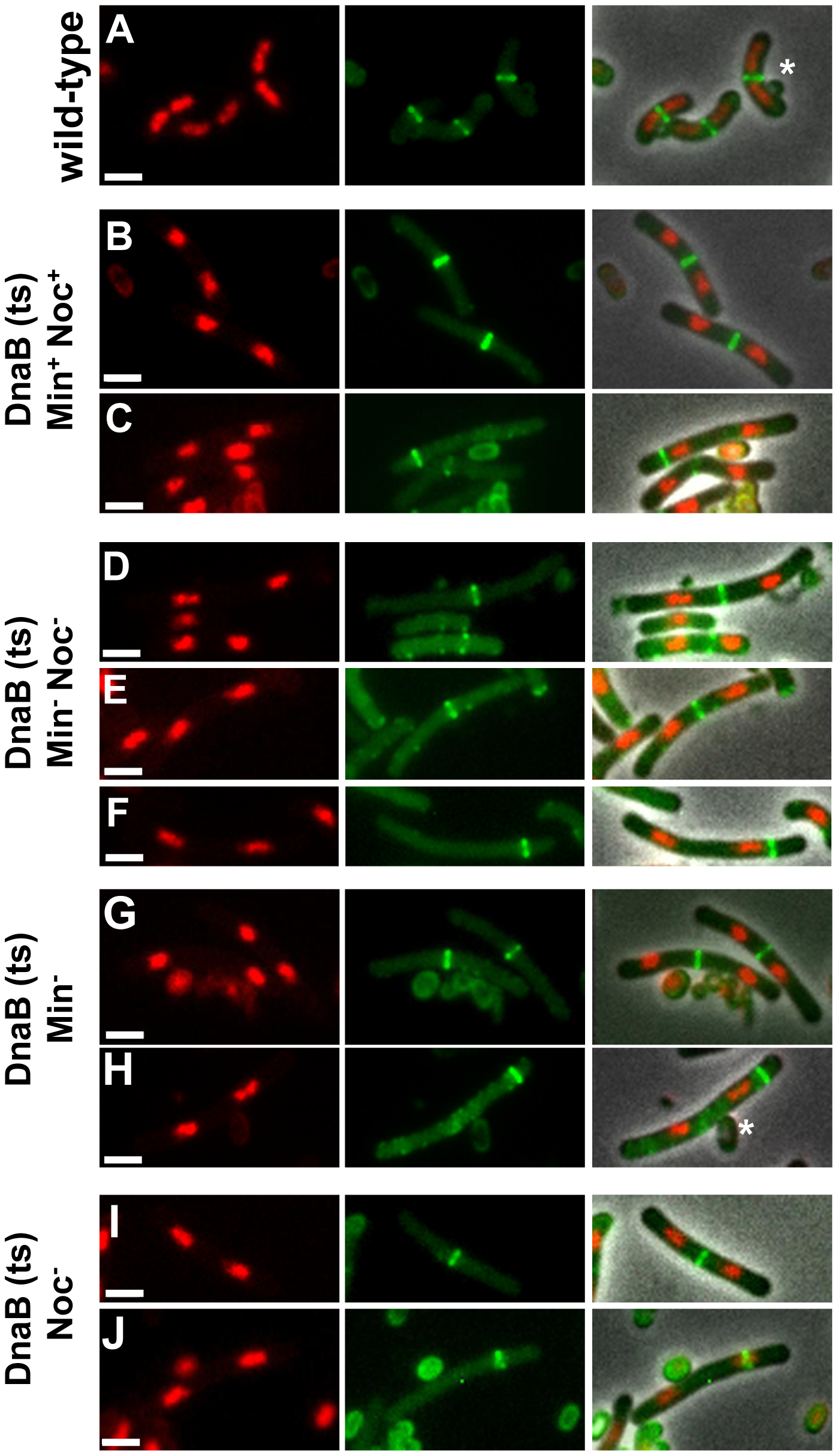 Z ring formation and positioning in cells with two separated nucleoids.