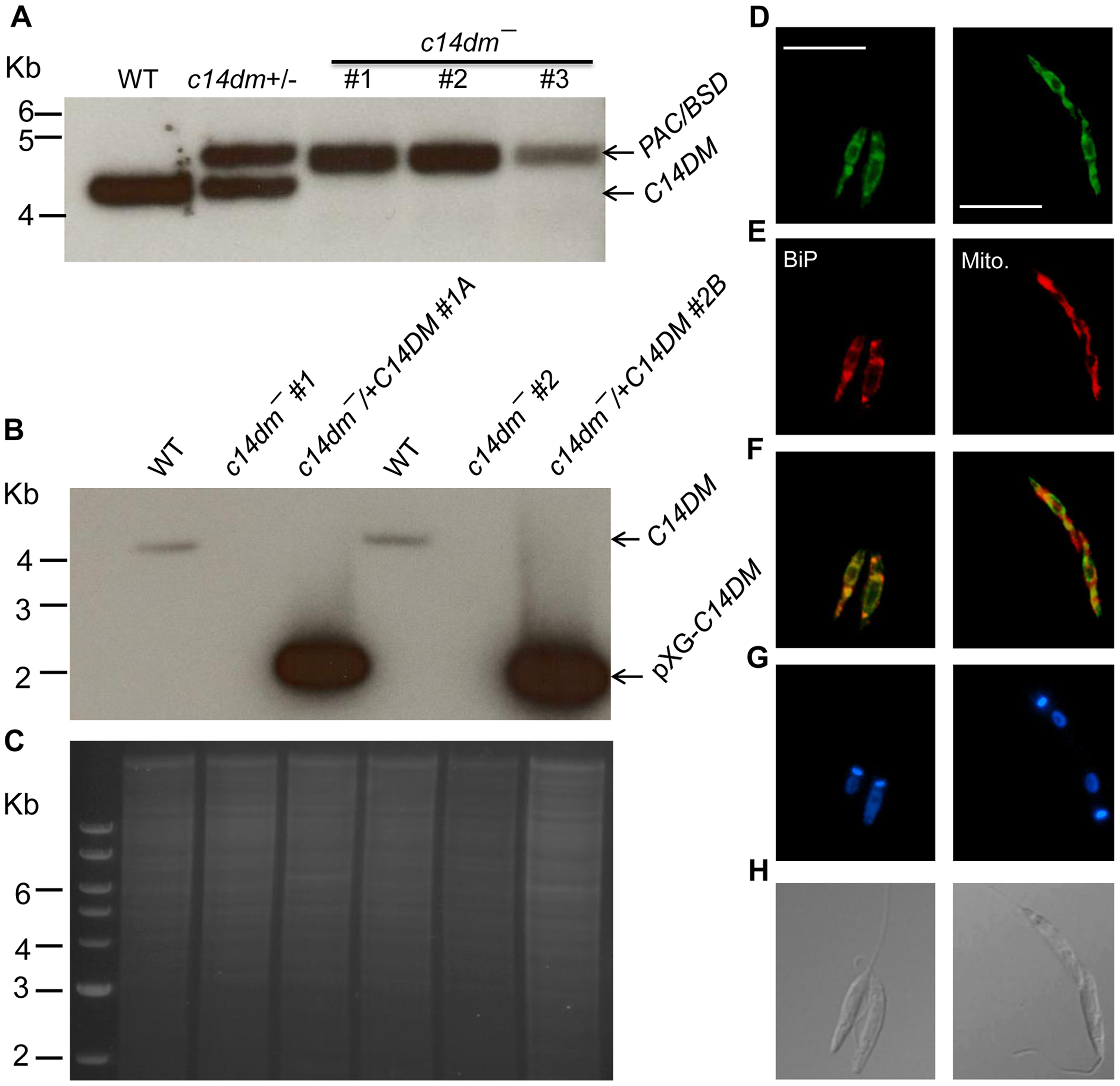 Targeted deletion and cellular localization of C14DM.